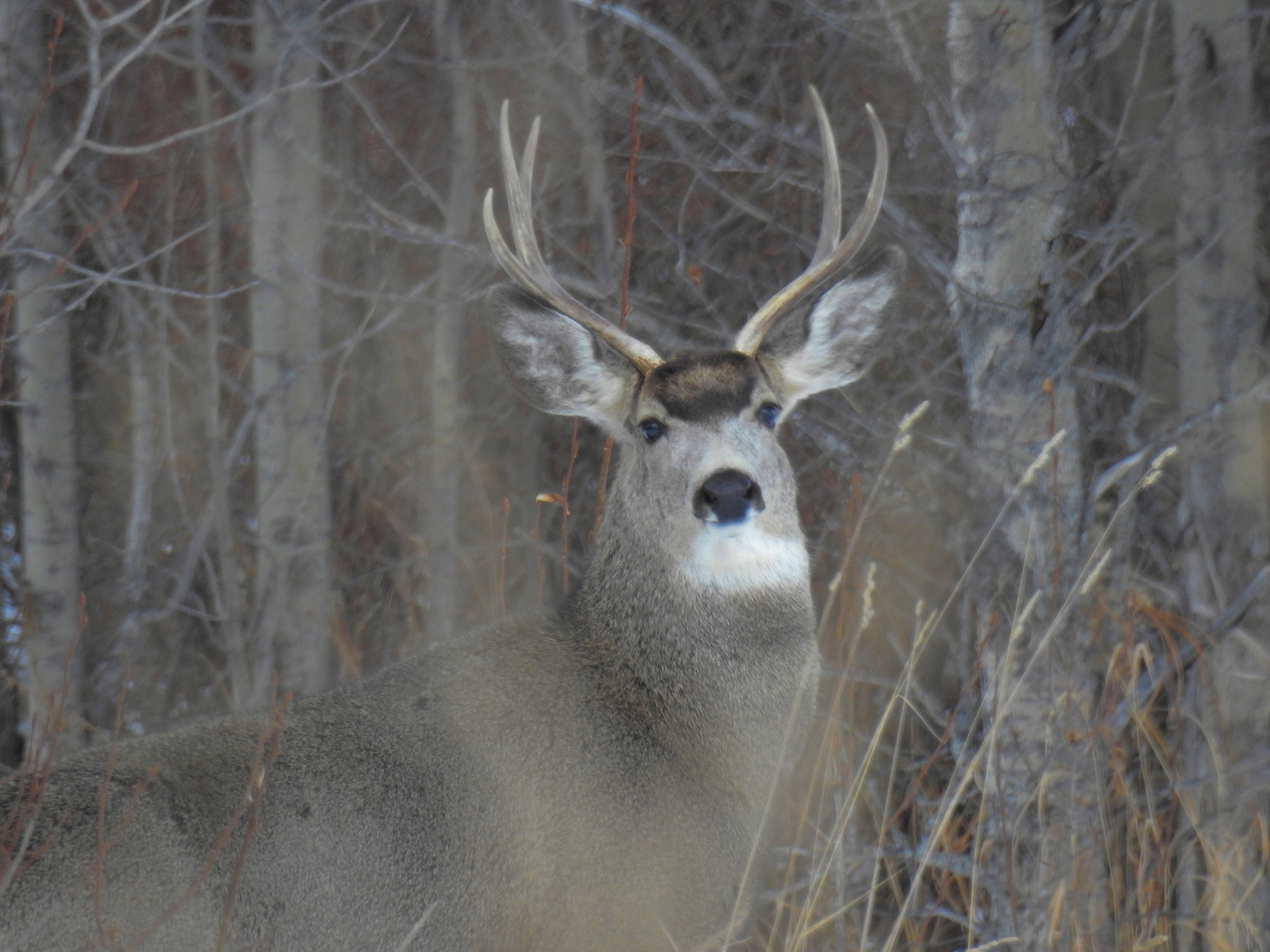 A Young Buck by tricialpat