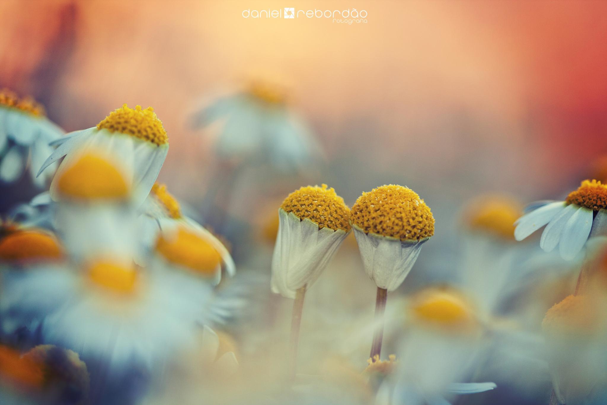 Flower Field by Daniel Rebordao