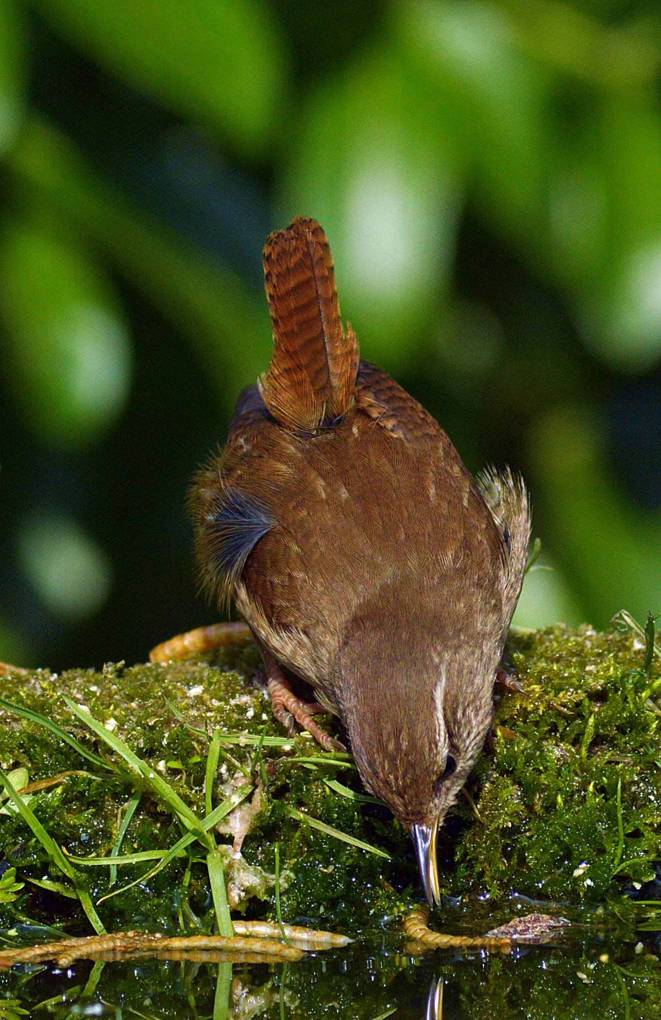 drink for the Wren by stevef.stop