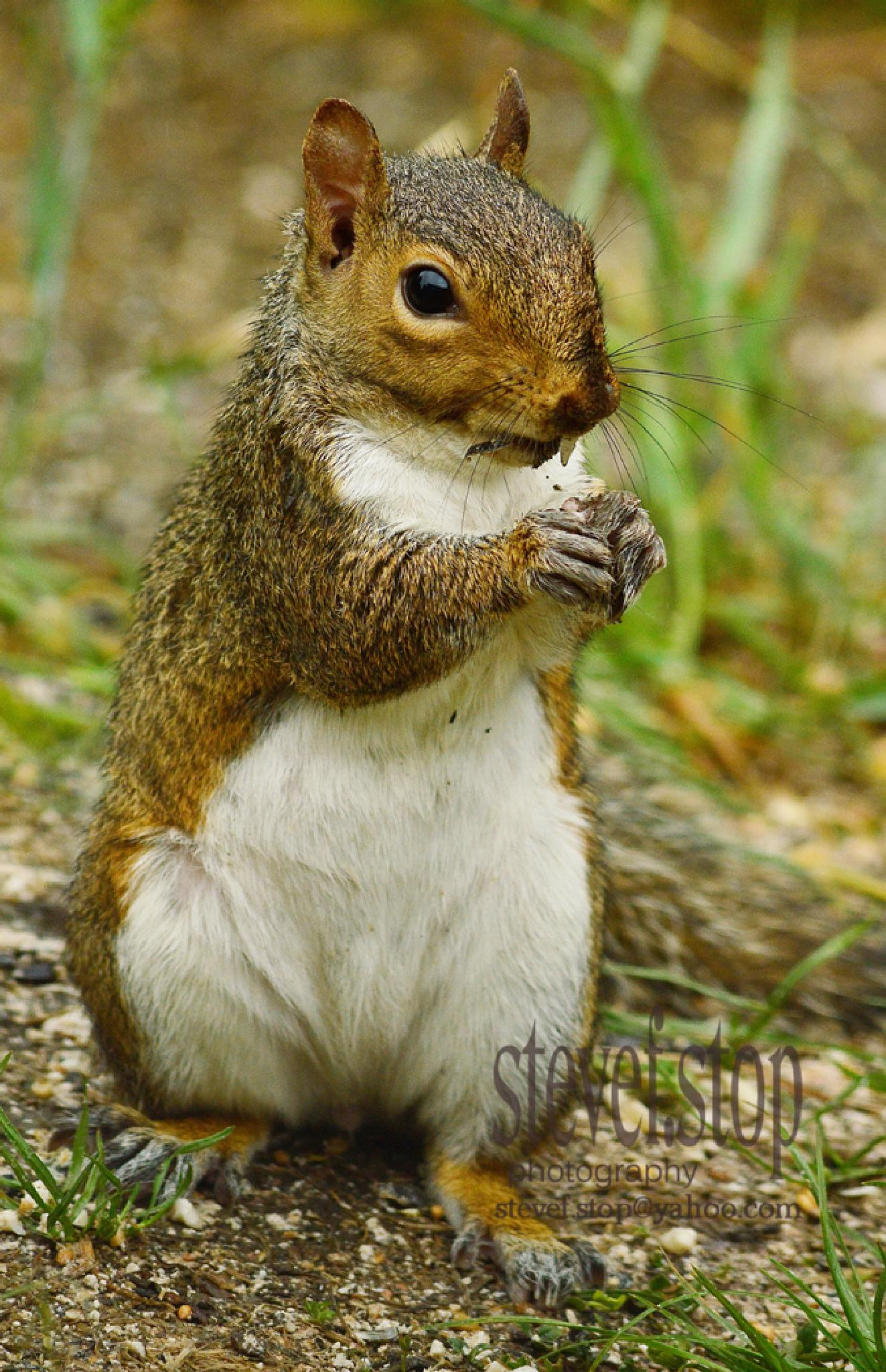 hungry grey squirrel by stevef.stop