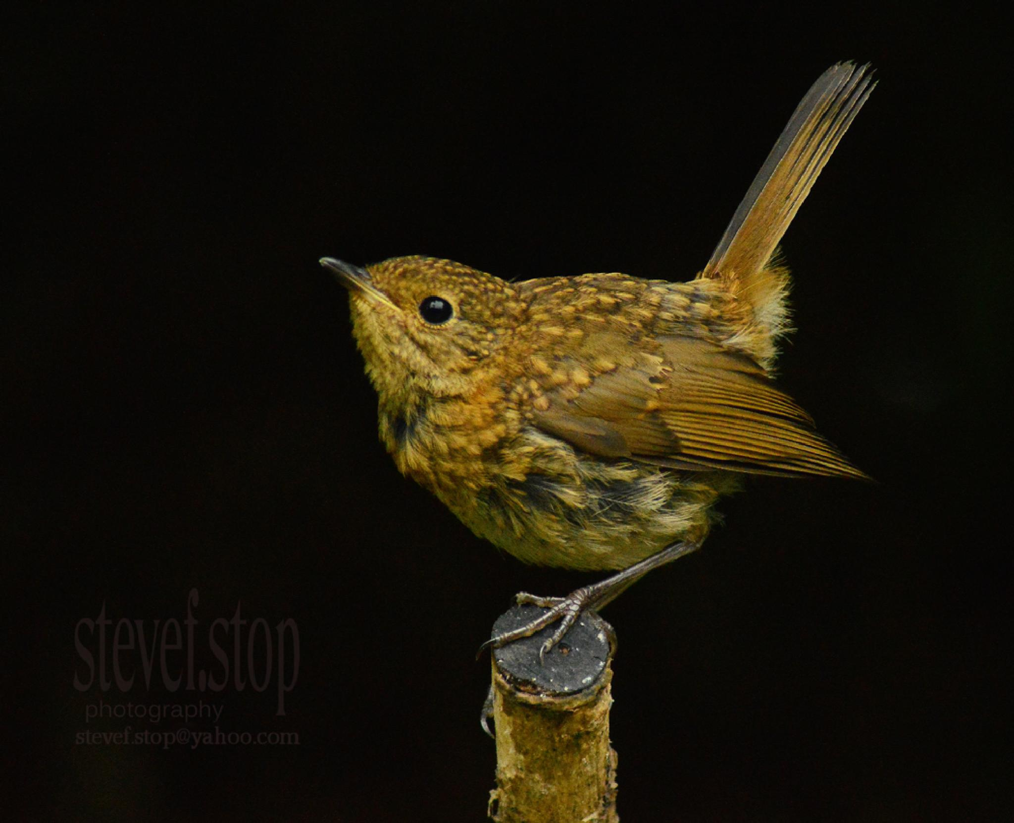 Juvenile Robin thinks he is a Wren by stevef.stop