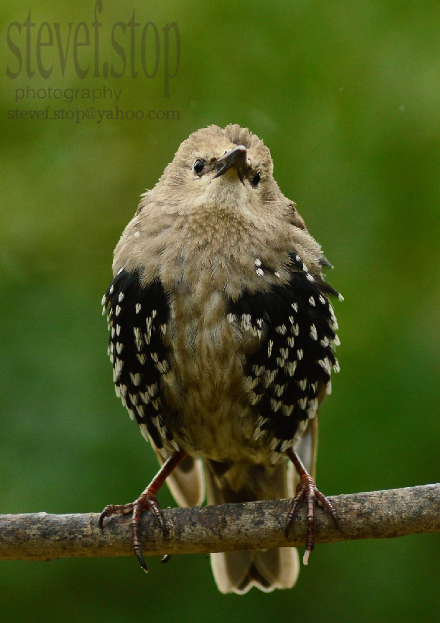 Juvenile Starling in the rain by stevef.stop