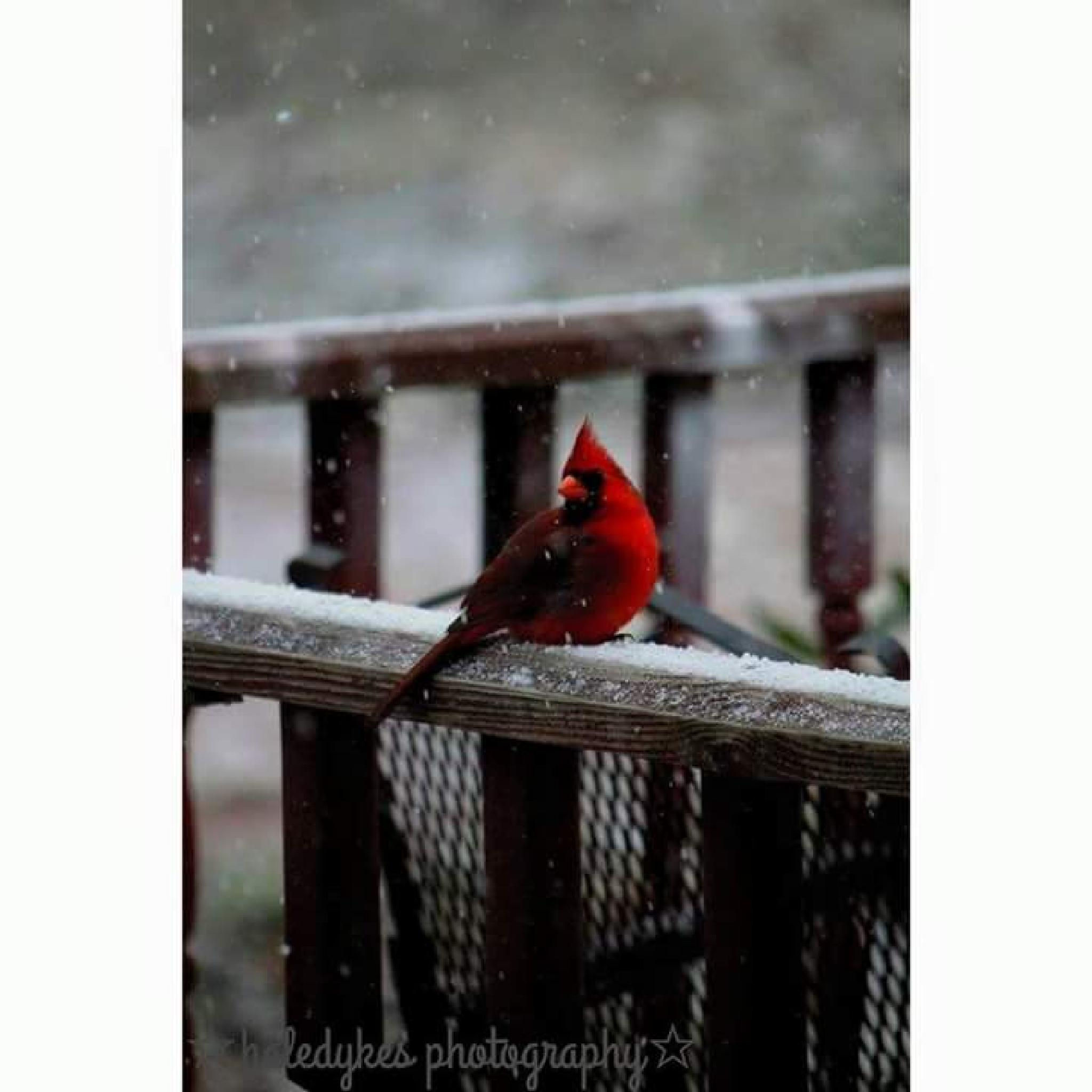 lonely red bird by haledykes