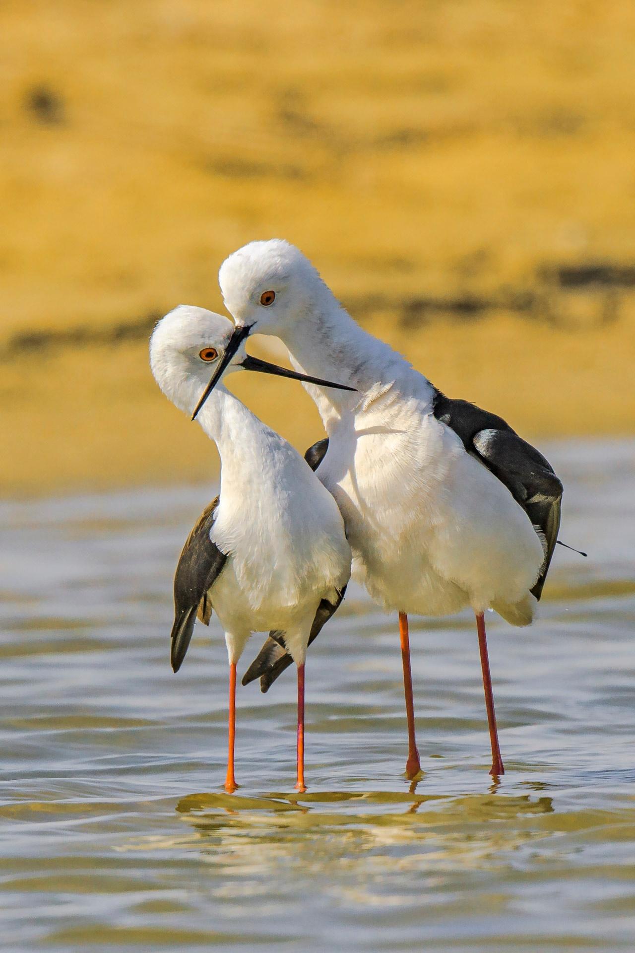 Photo in Animal #blackwingedstilt #vipin #vipinsharma #uae #nature #wildlifephotography