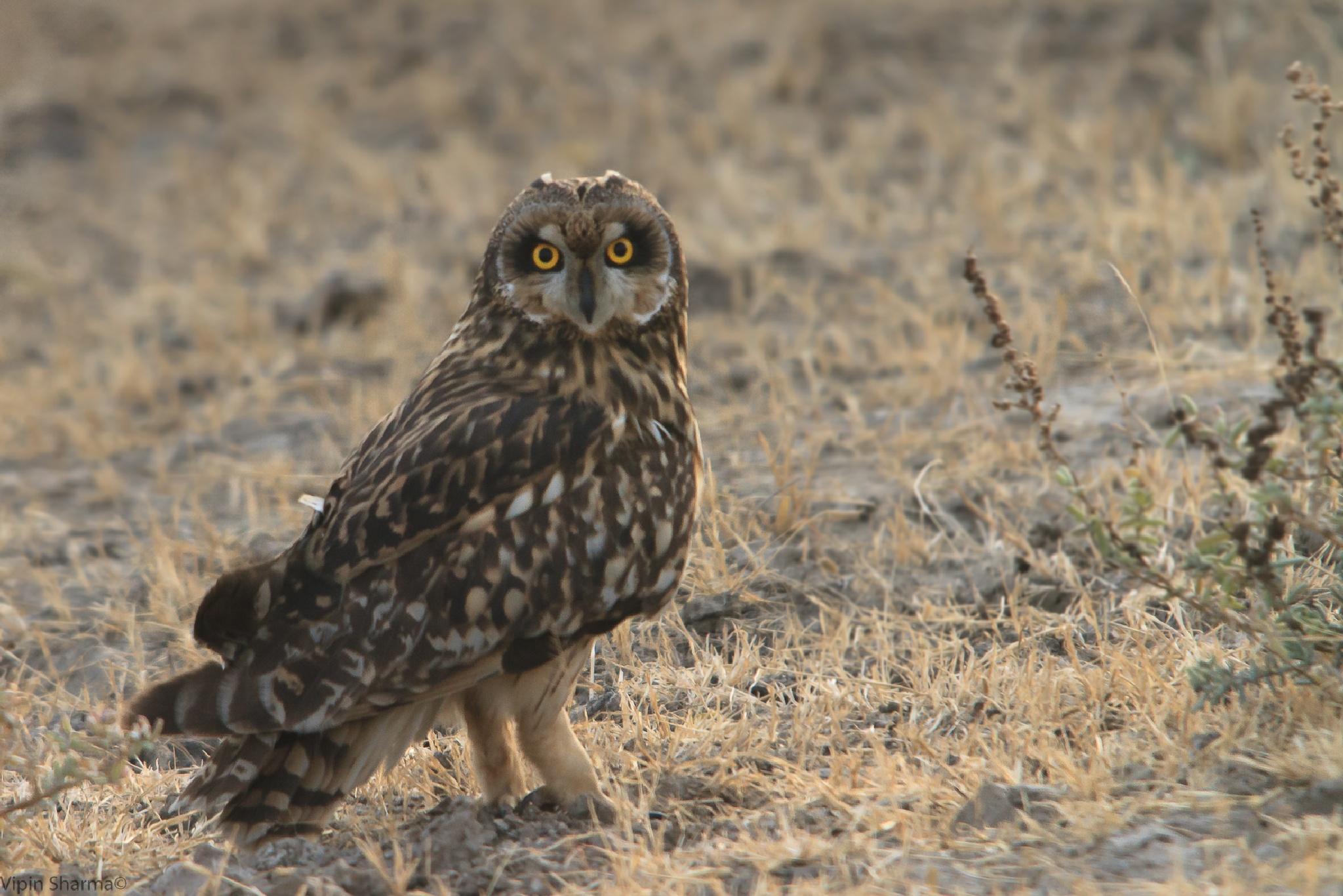 Short-eared owl  by vipin.sharma