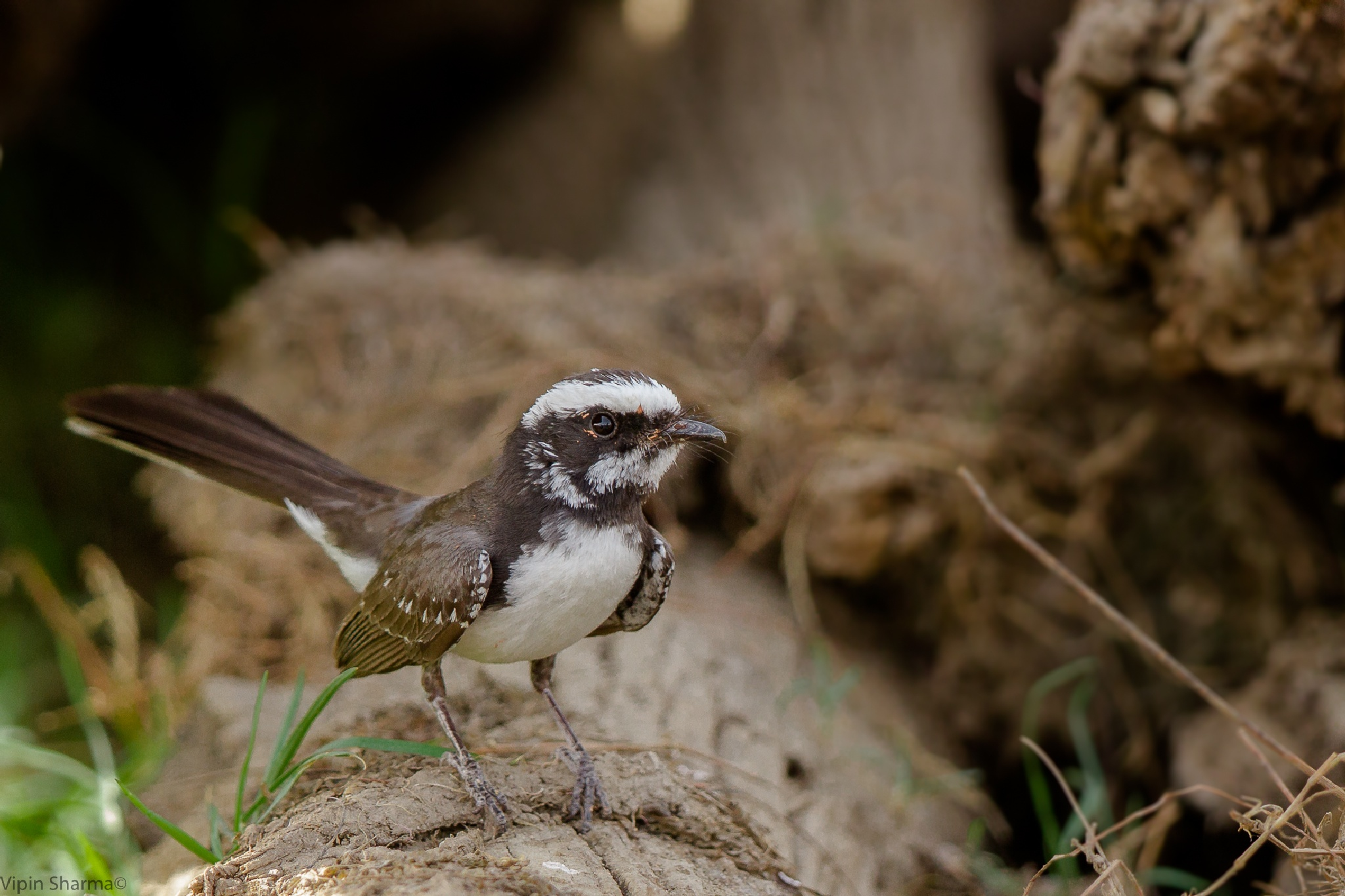 White-throated fantail by vipin.sharma