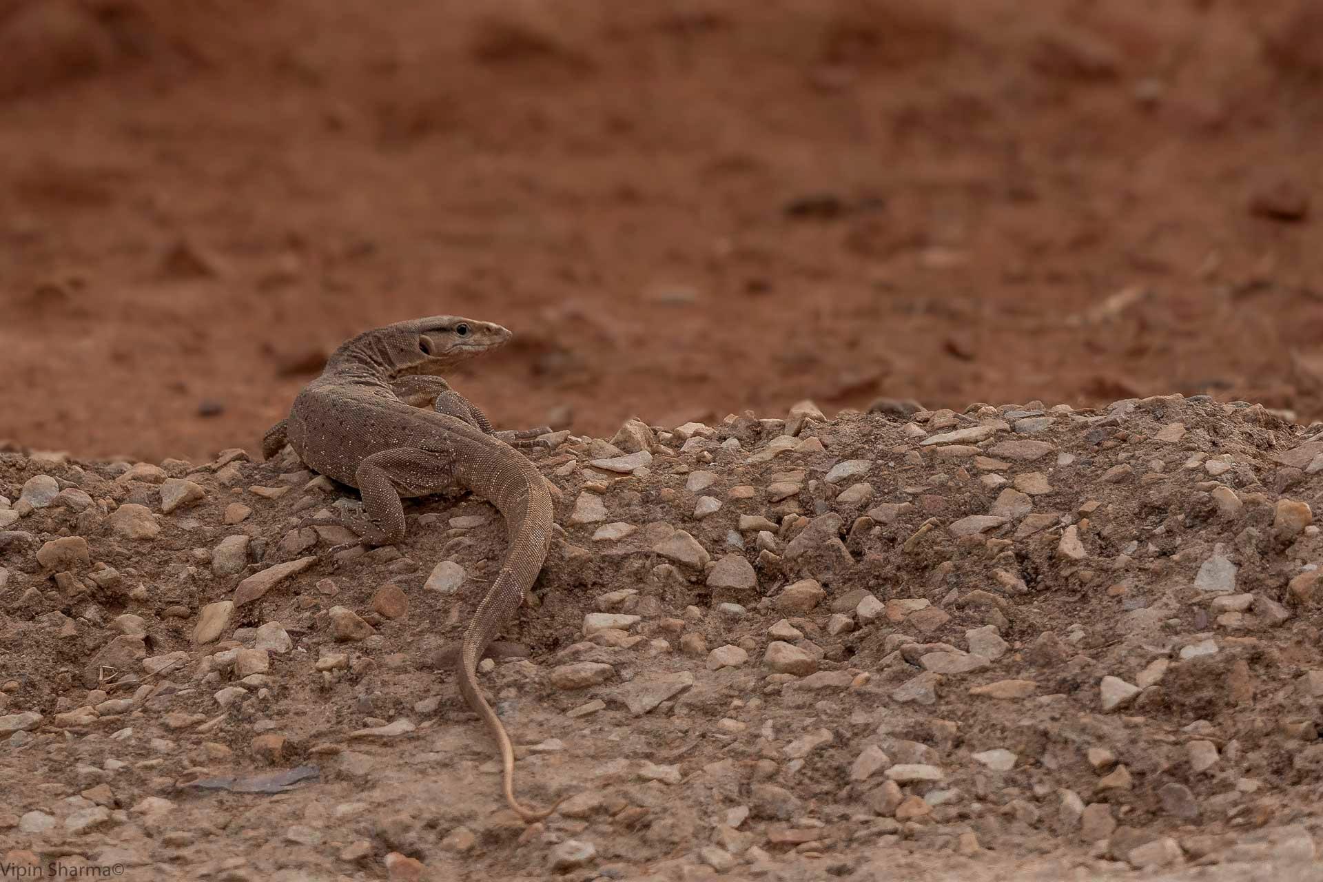 Monitor Lizard by vipin.sharma