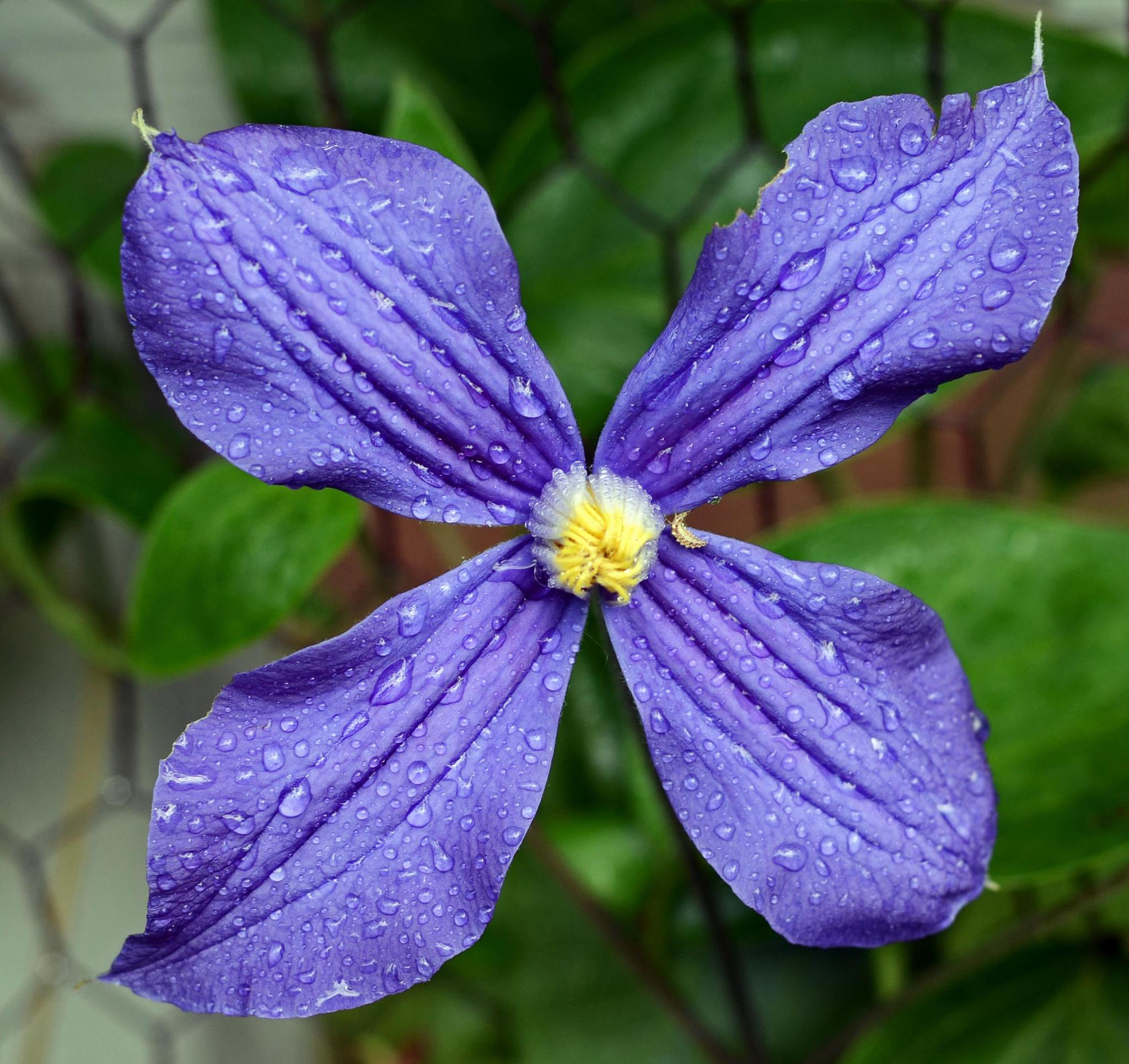 Purple Star by Mary Jean Gorton