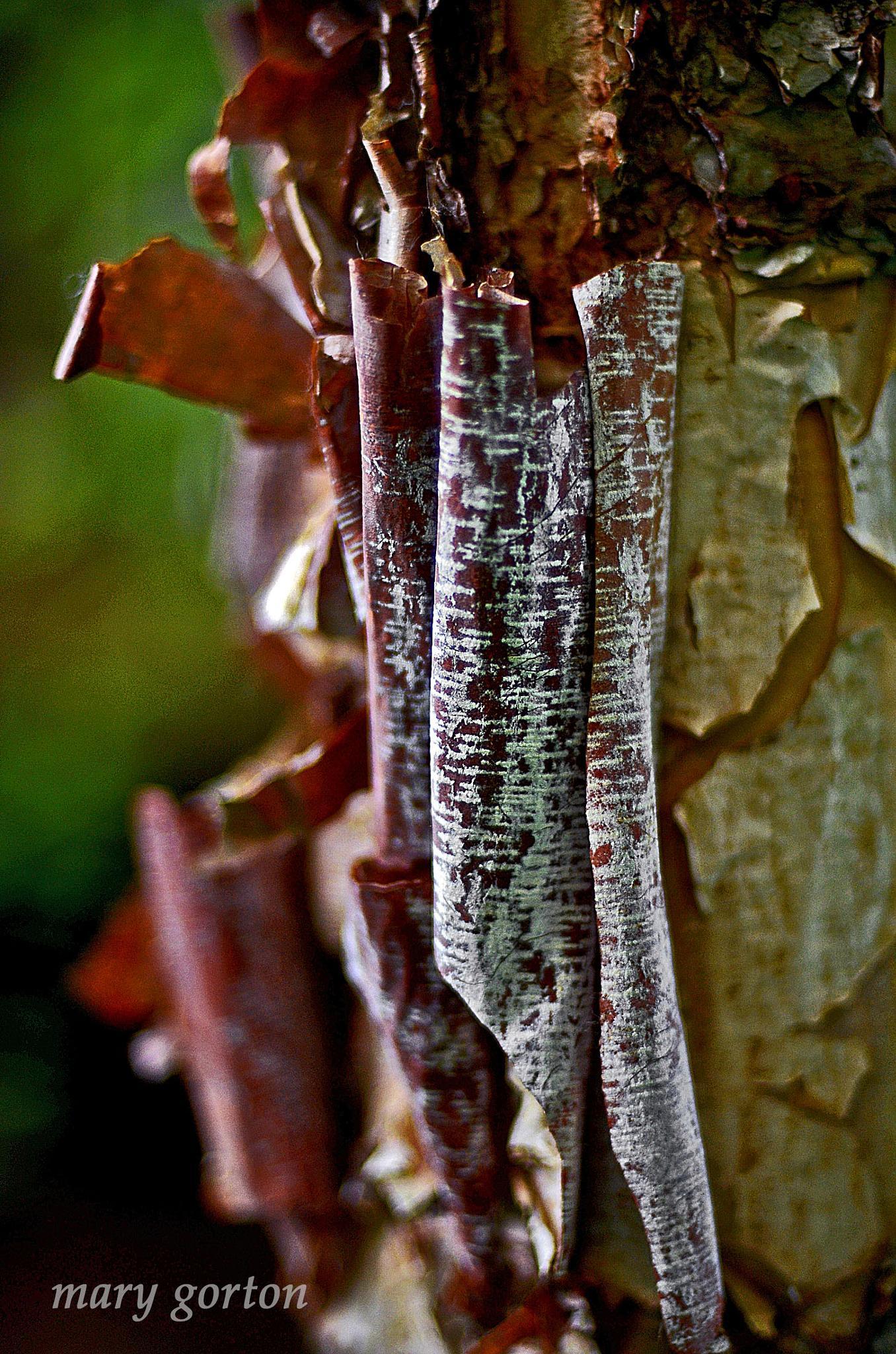 Birch by Mary Jean Gorton