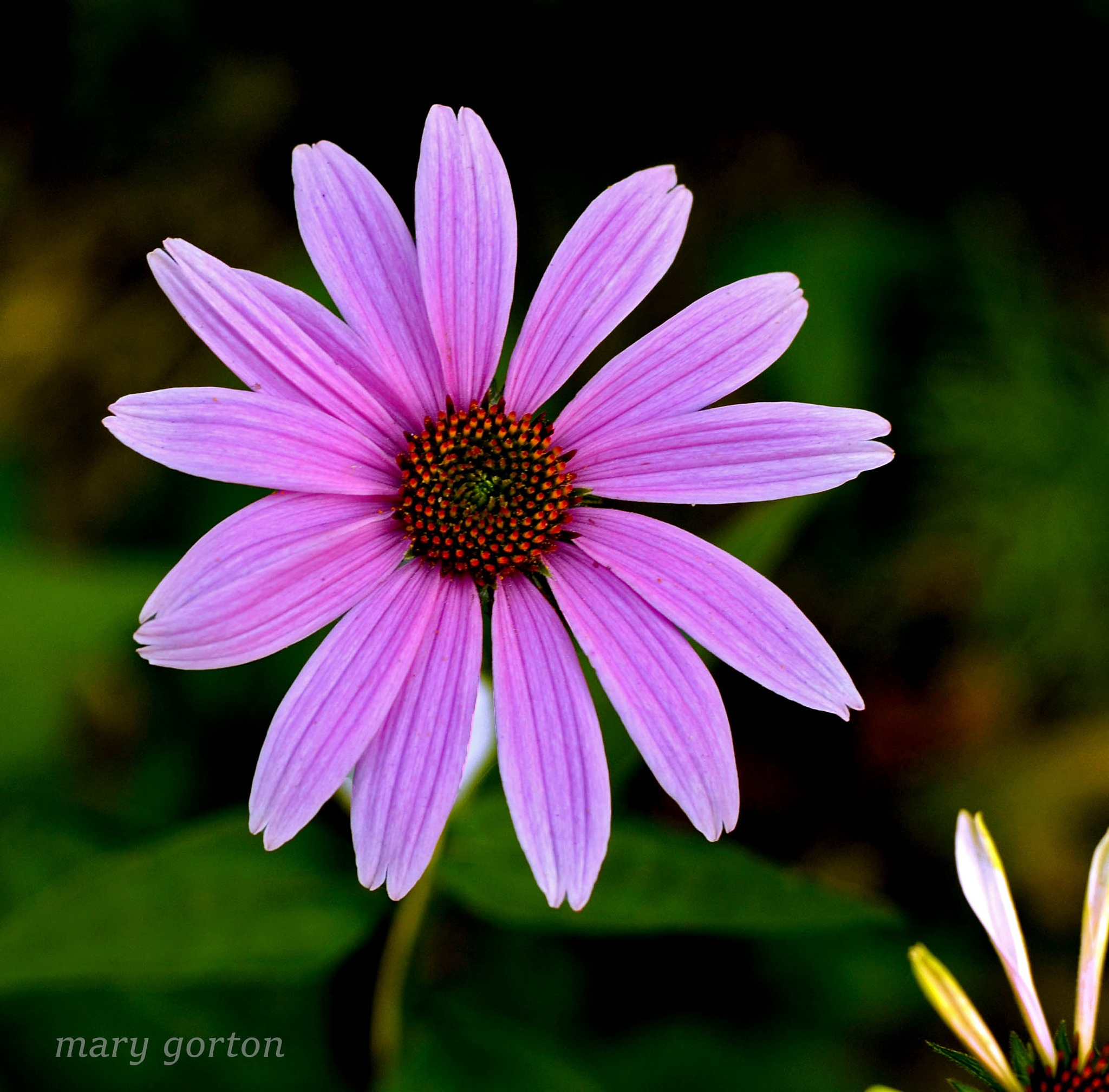 Young Coneflower by Mary Jean Gorton