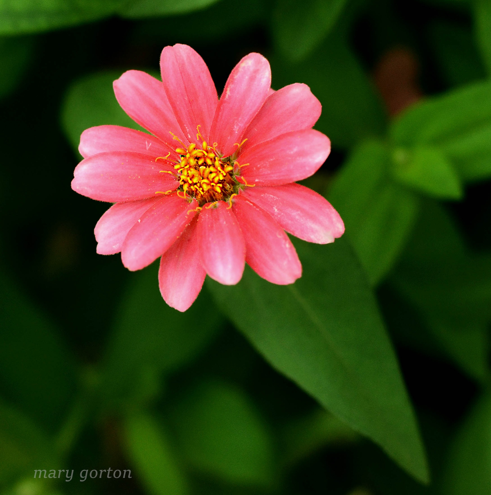 Pink Flower by Mary Jean Gorton