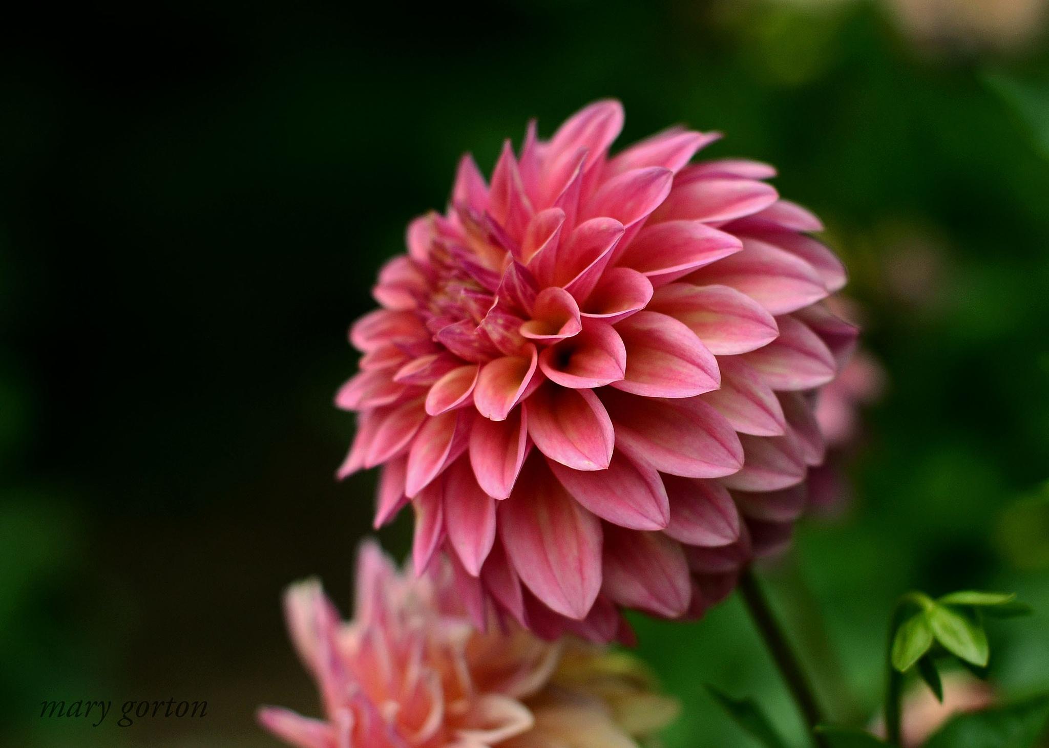 Pink Dahlia by Mary Jean Gorton