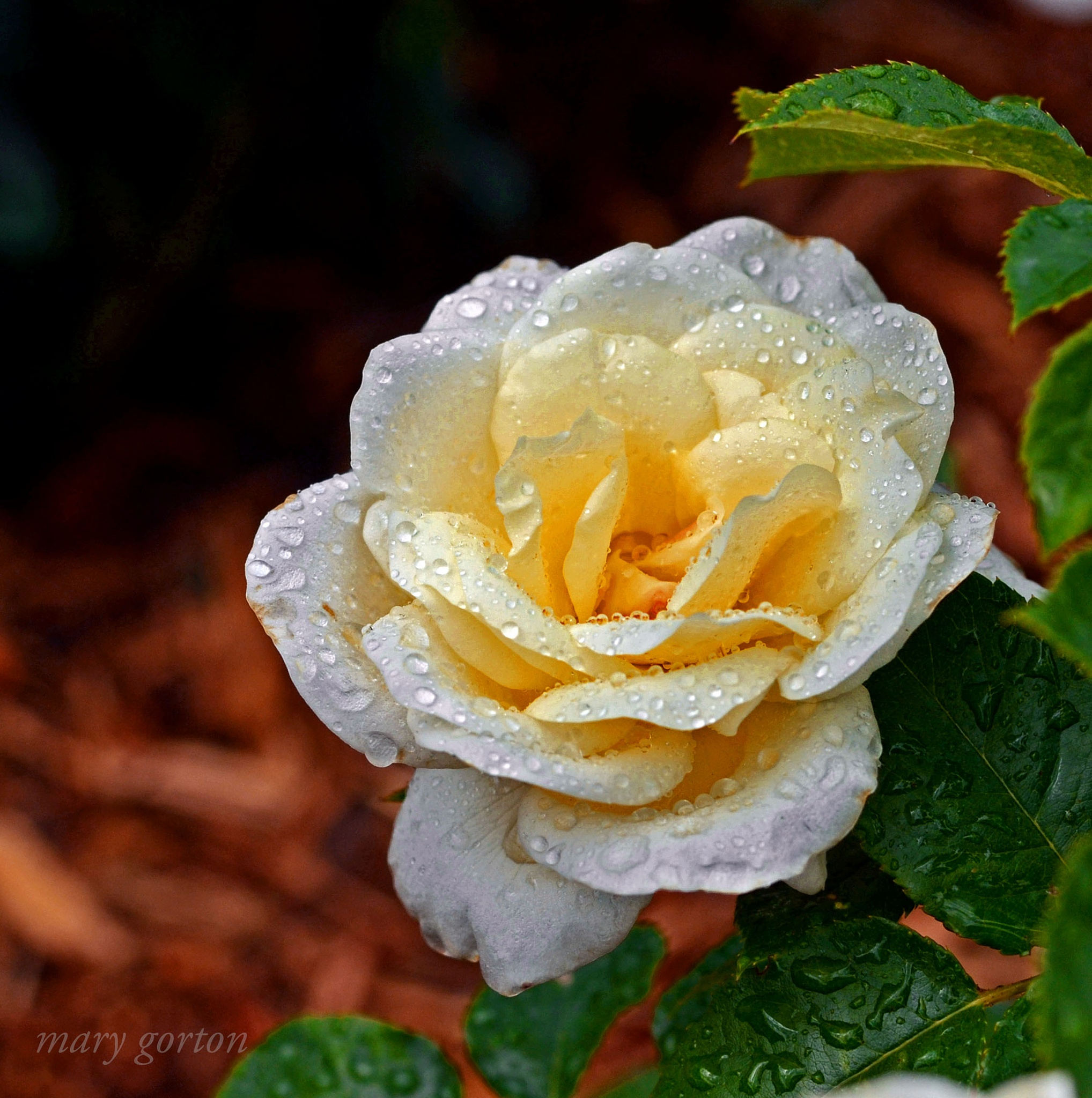 Rose by Mary Jean Gorton
