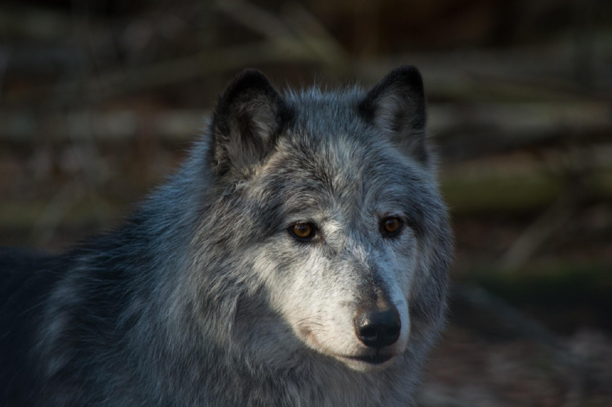 Wolf by ADKPhotoTaker
