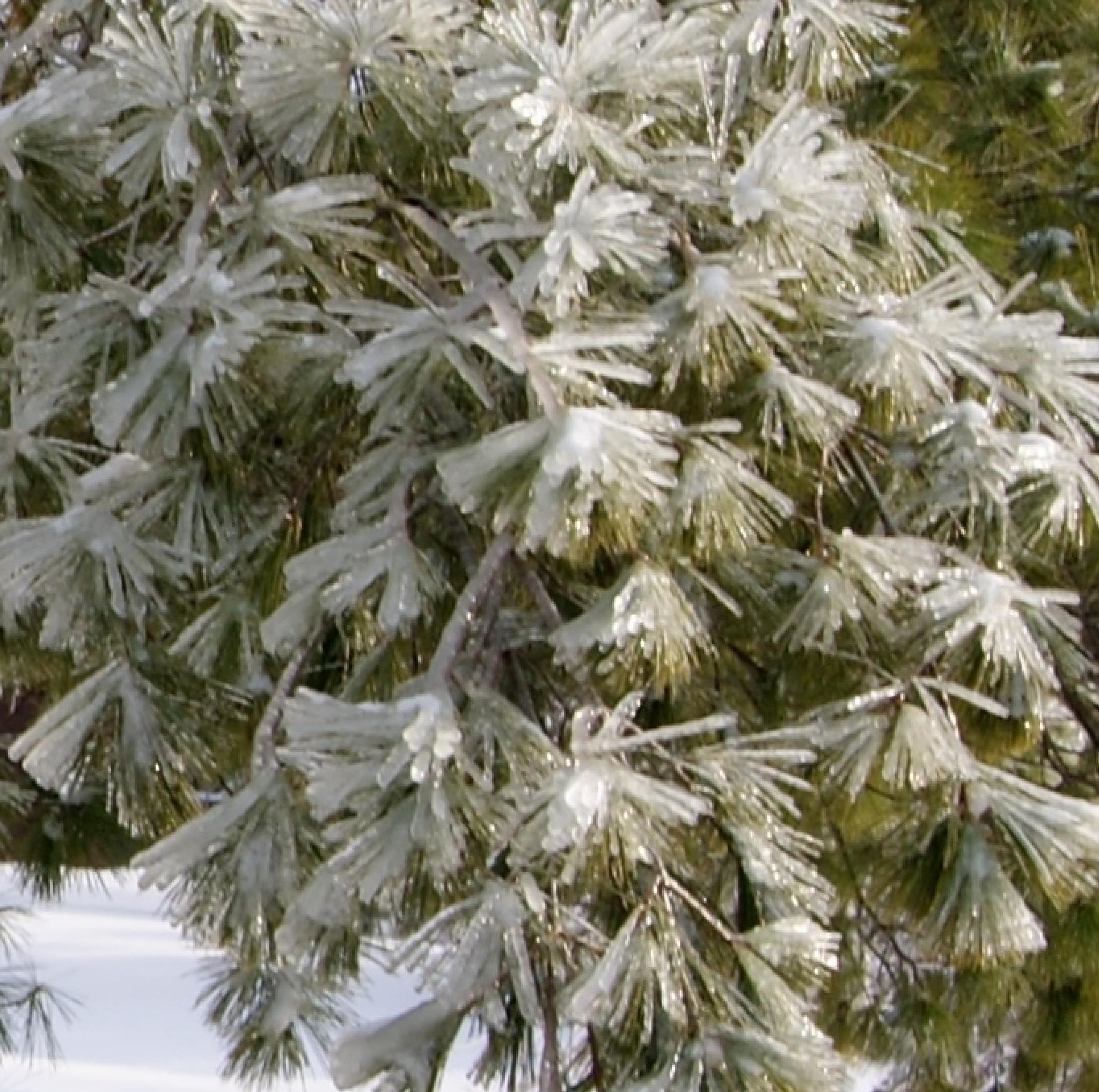 frozen ice pine tree by alicestorm0749