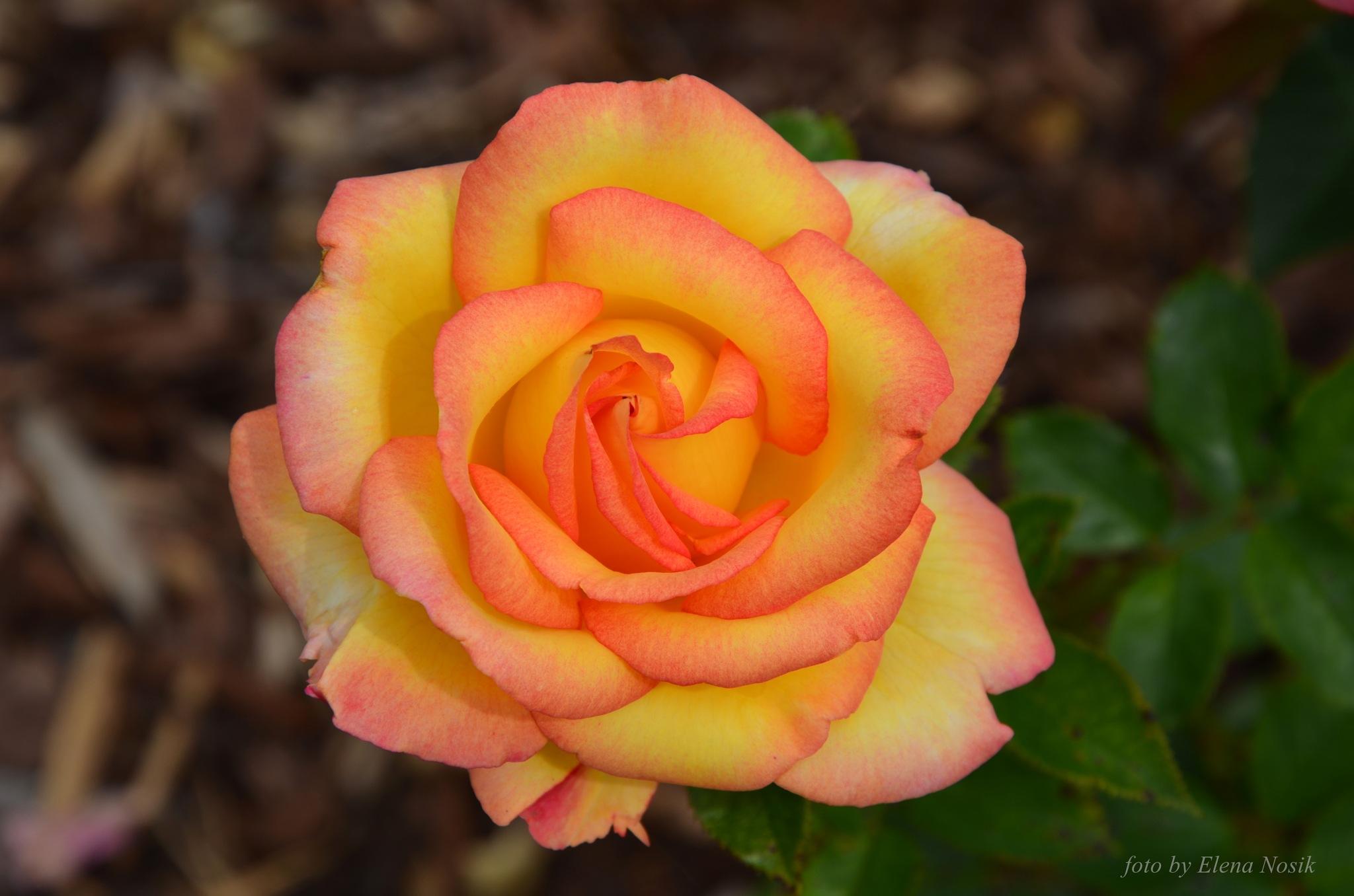 Rose by ElenaNosik