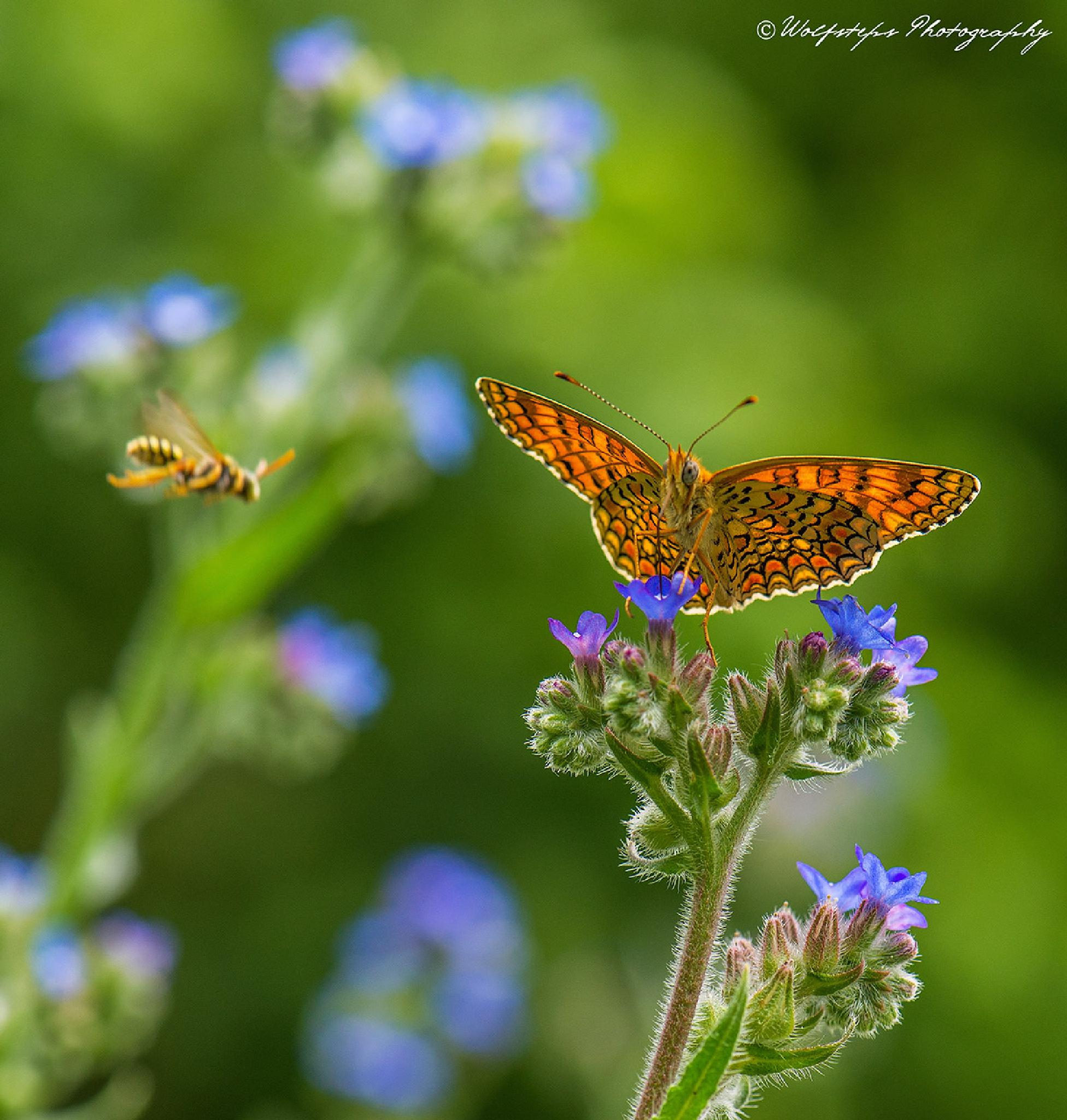 Butterfly and bee by WolfstepsPhotography