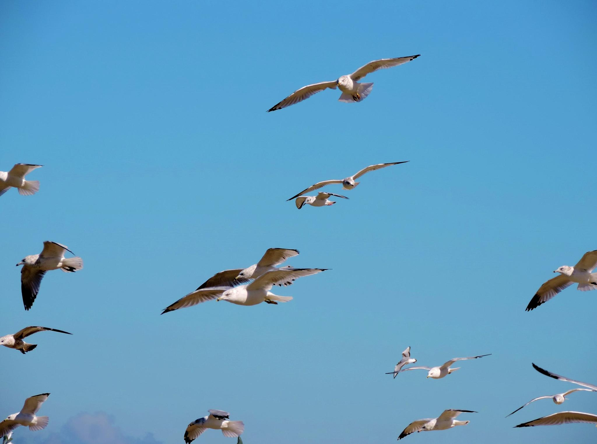 Seagulls in Flight by Darla Allburn