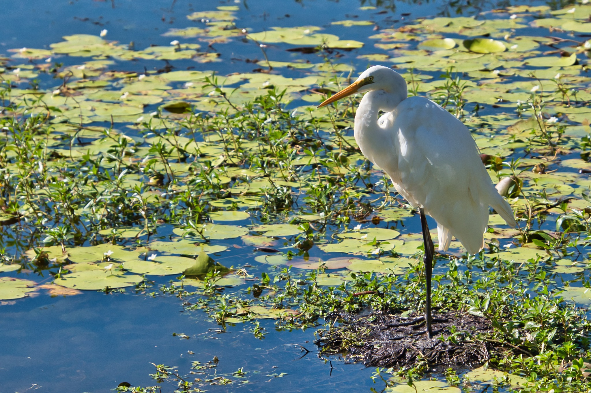 Great Eastern Egret by Kim McGlinchey