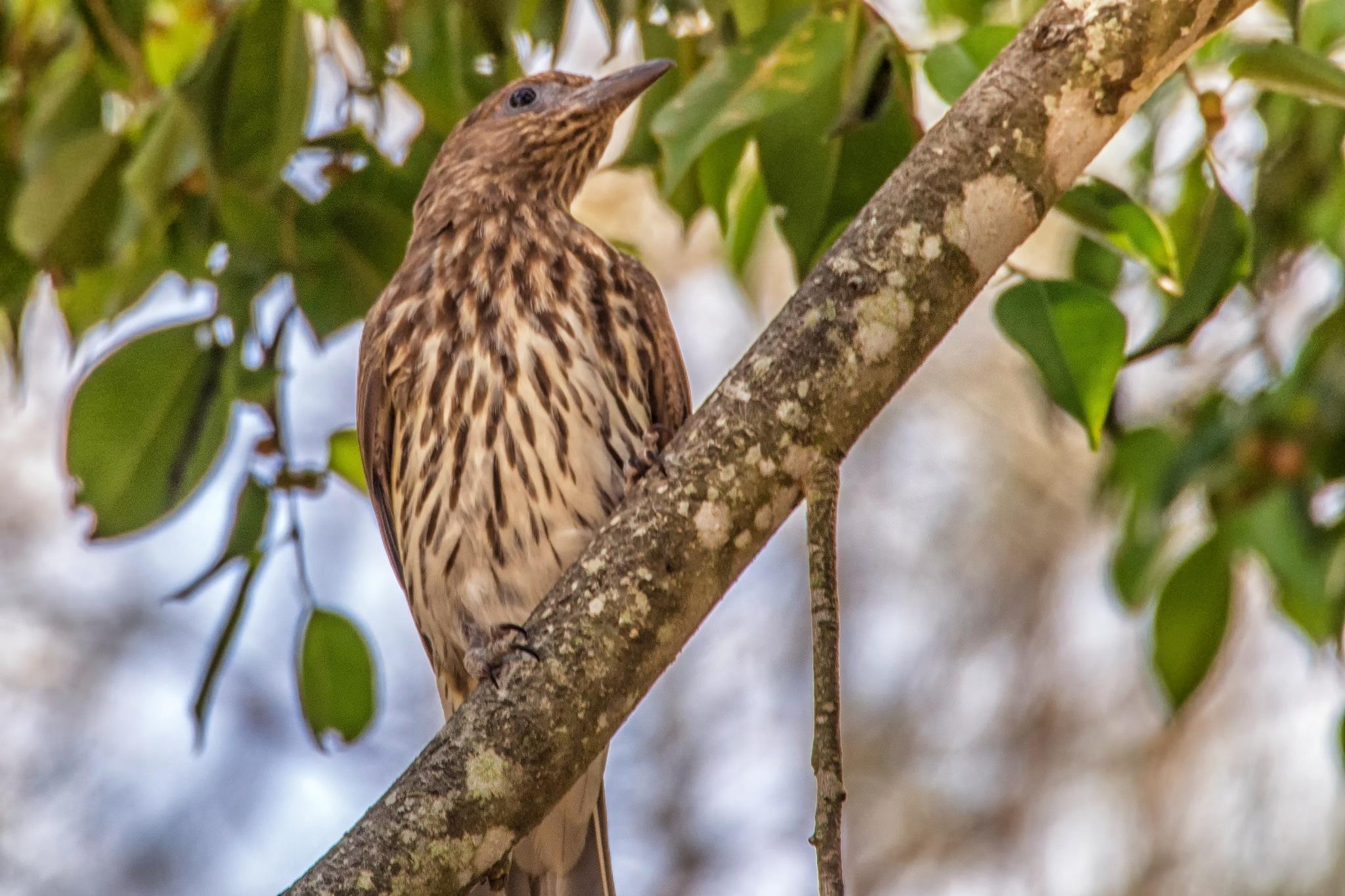 Female Figbird by Kim McGlinchey