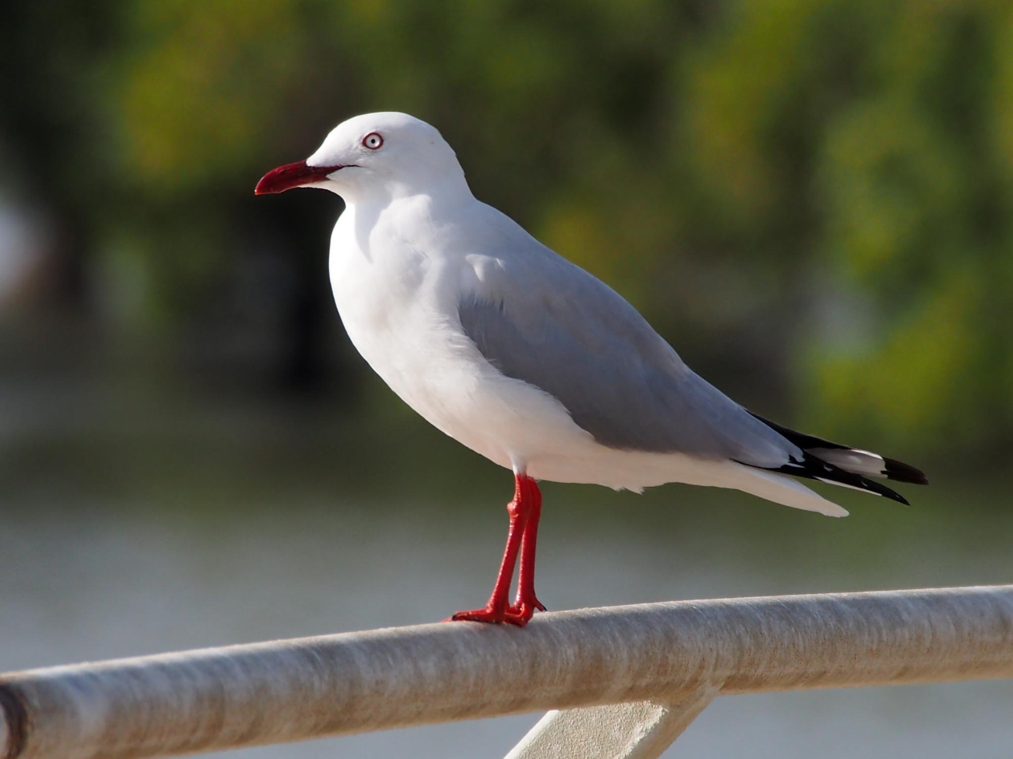 Seagull by Kim McGlinchey