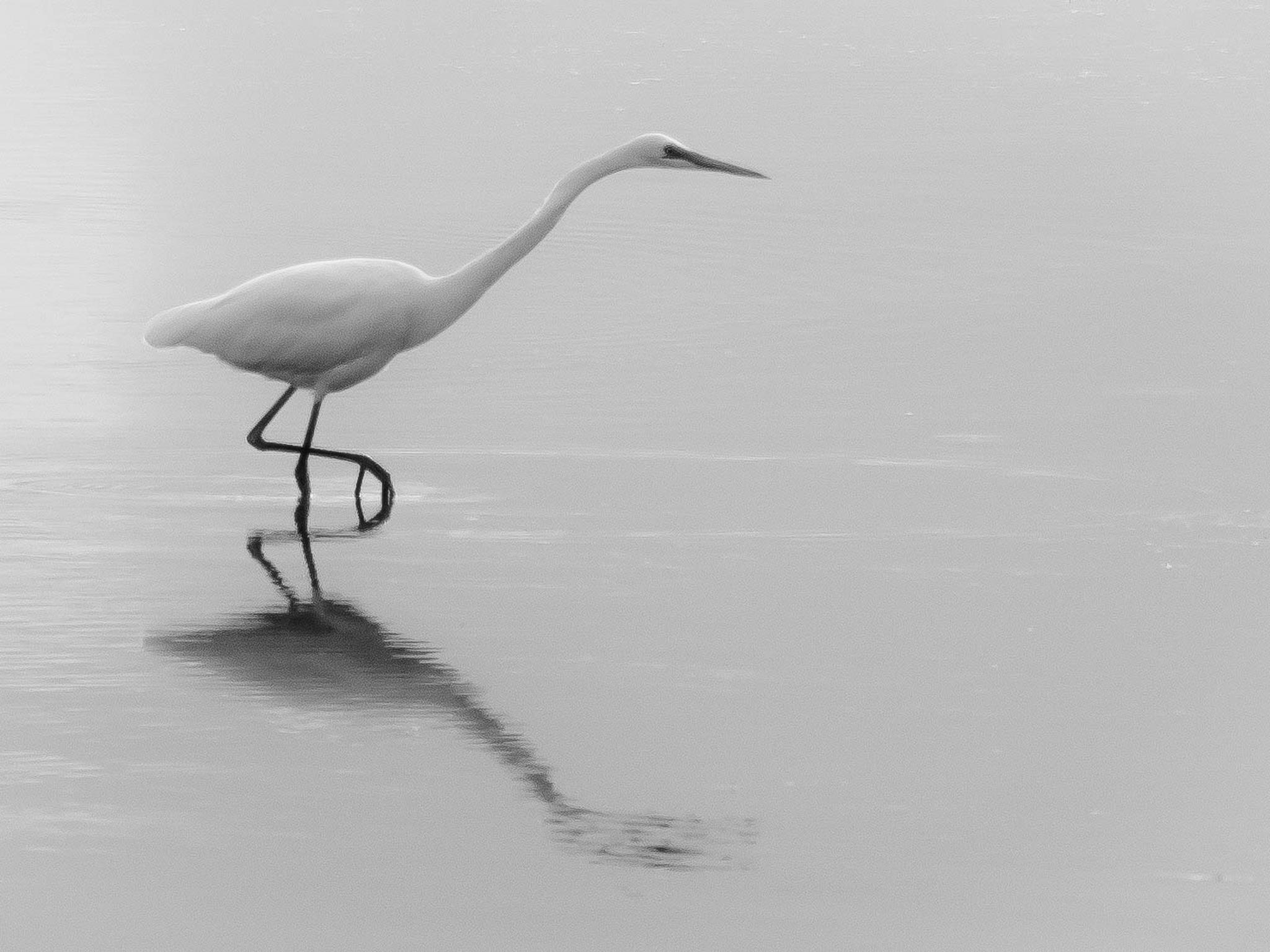Intermediate Egret by Kim McGlinchey
