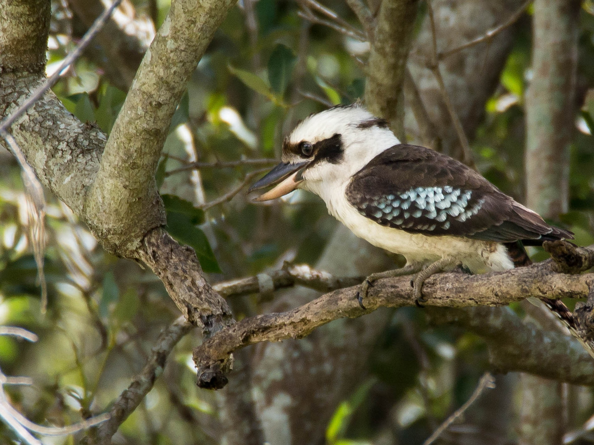 Kookaburra by Kim McGlinchey