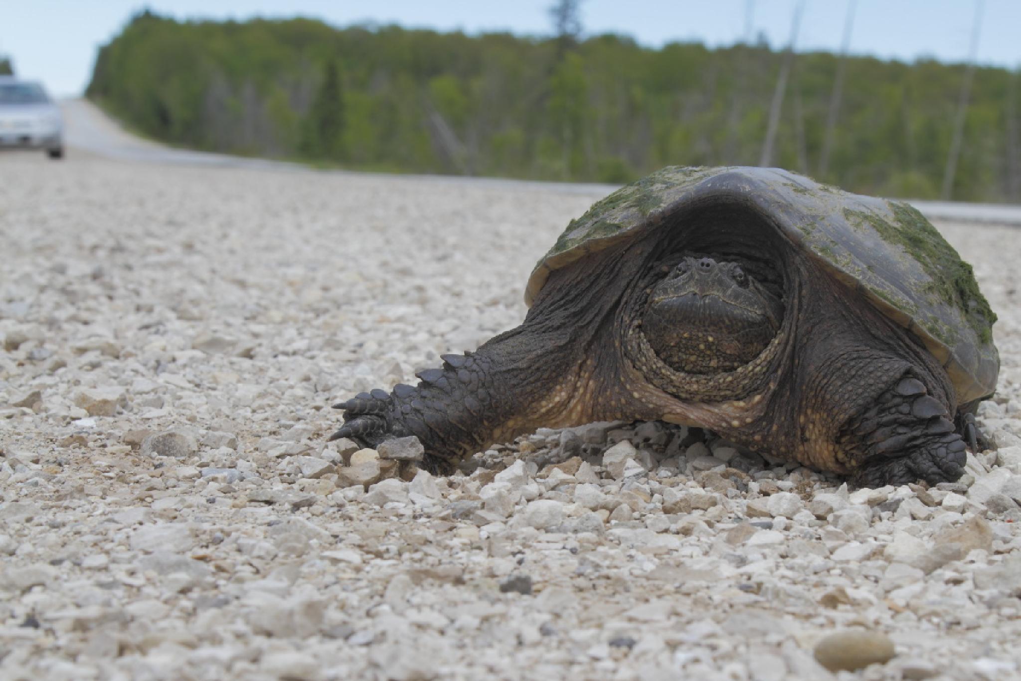 Turtle by Paul Berkloo