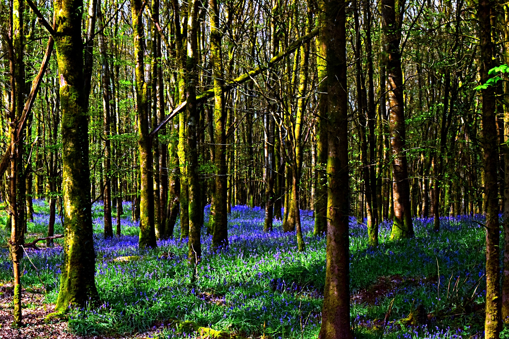 Bluebells 1 by Kenny Francis