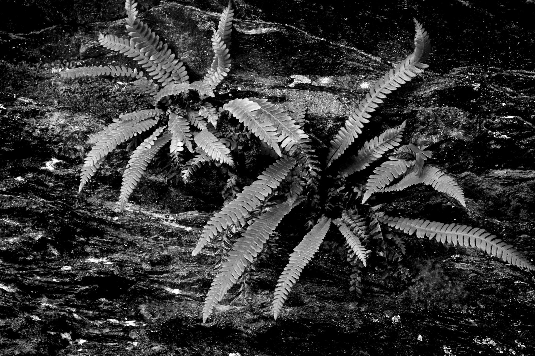 Ferns on rockface by Kenny Francis