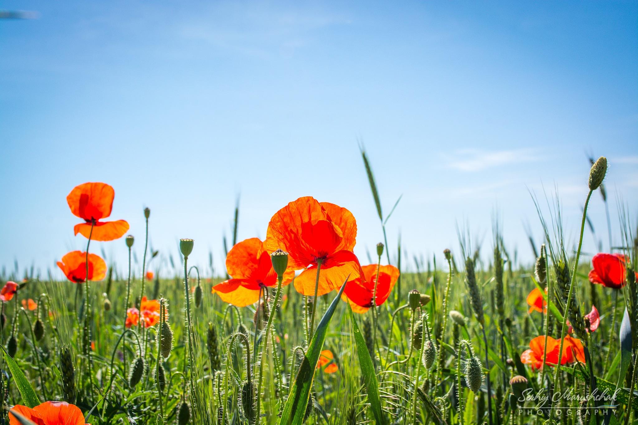 Маки під сонцем... / Poppies under the sun... by artmars07