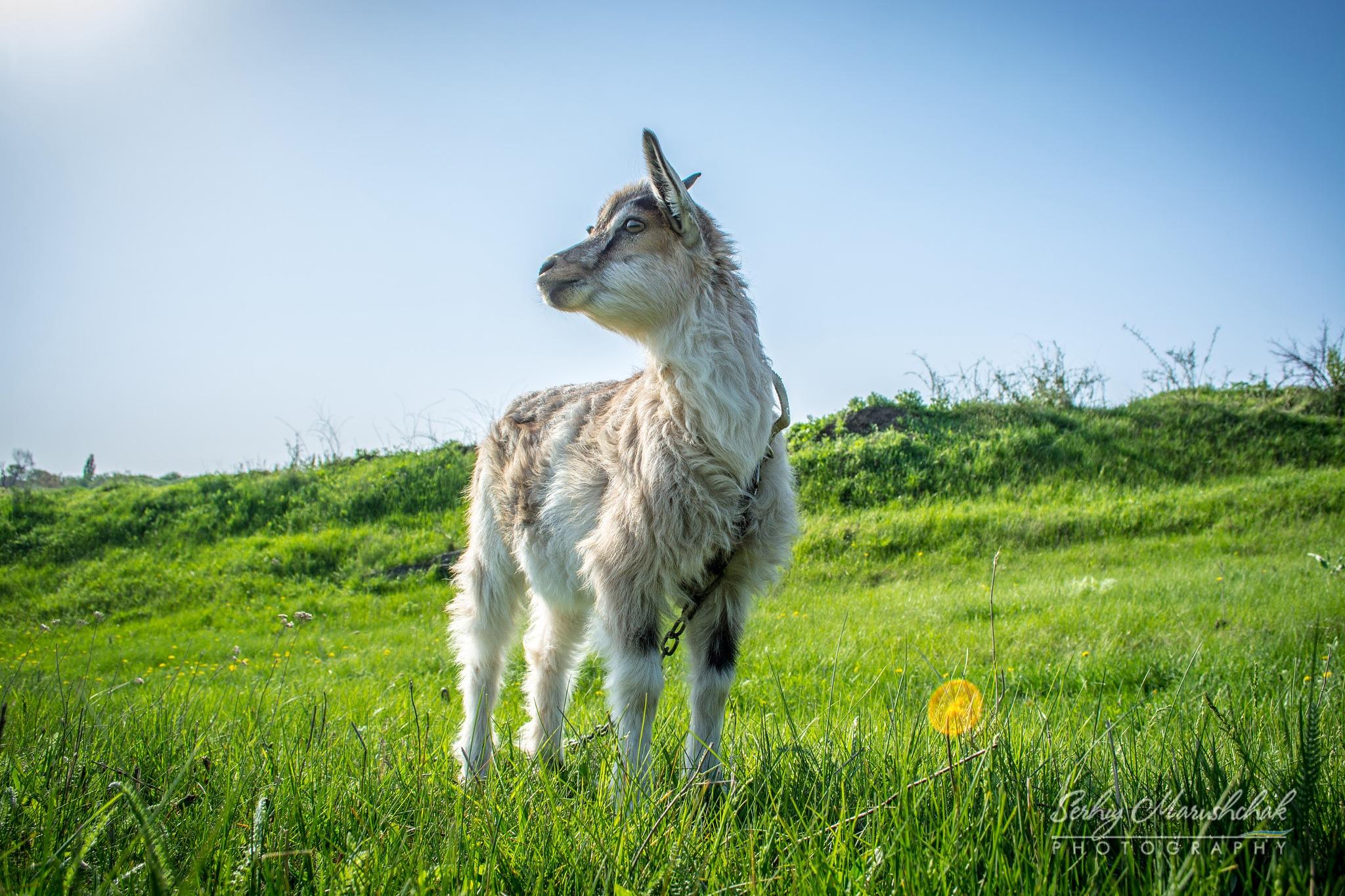 Козеня... / goat had... by artmars07
