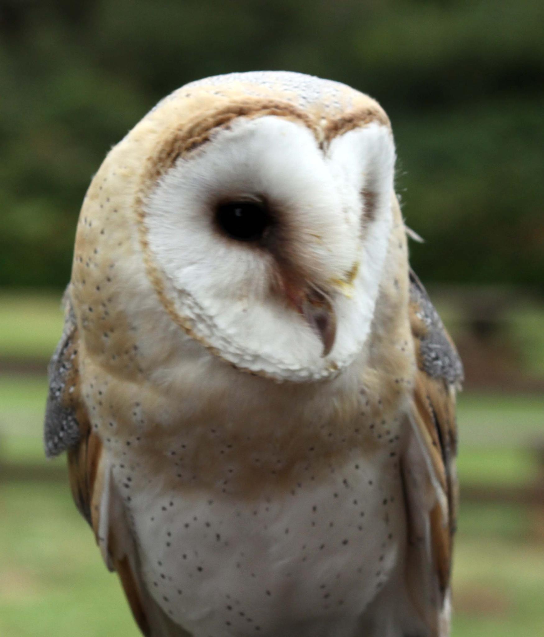 Barn owl 01 by mamstudio