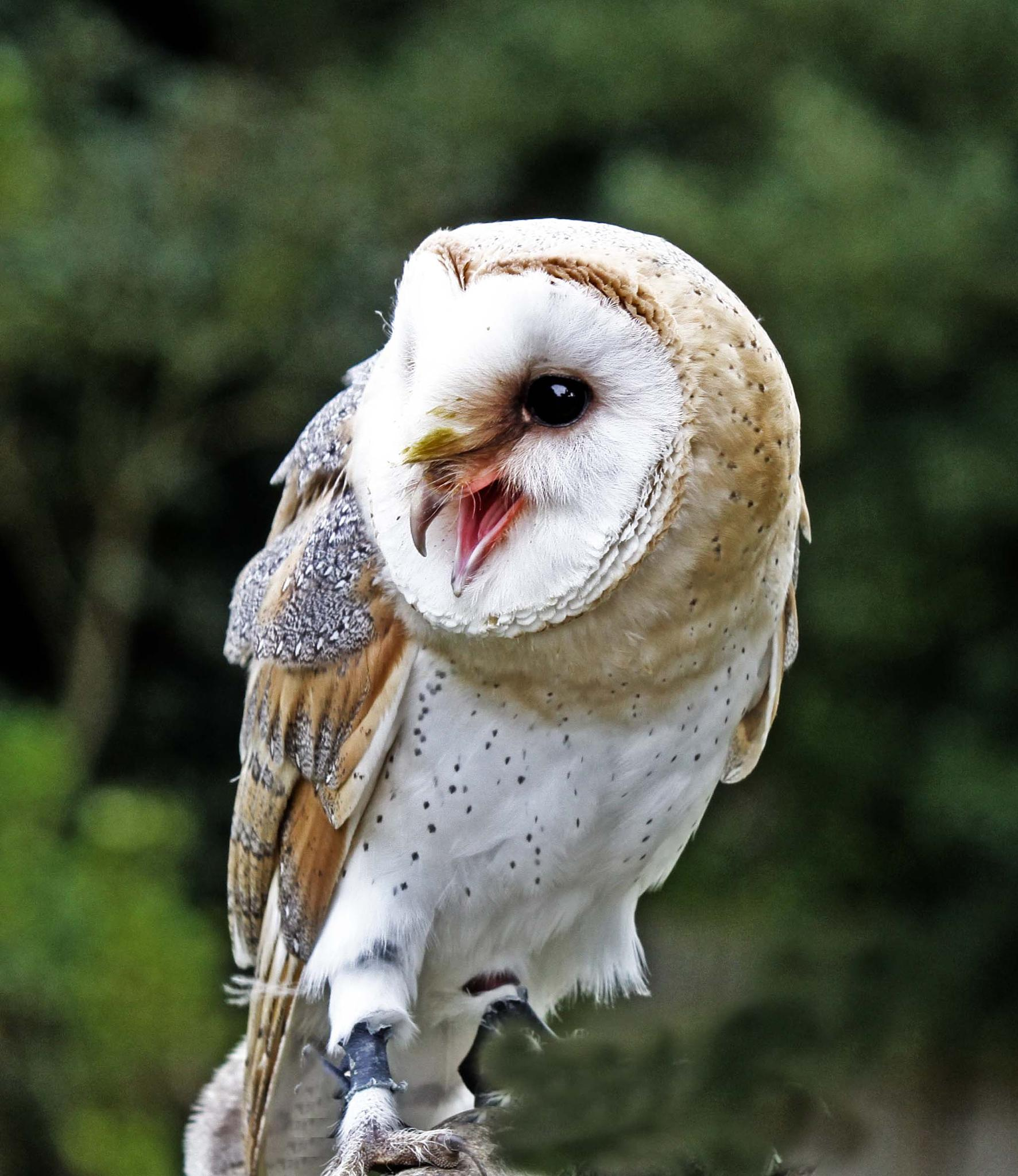 Barn owl 02 by mamstudio
