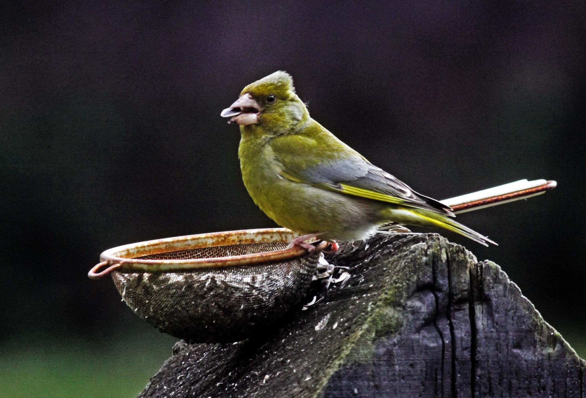 Greenfinch by mamstudio