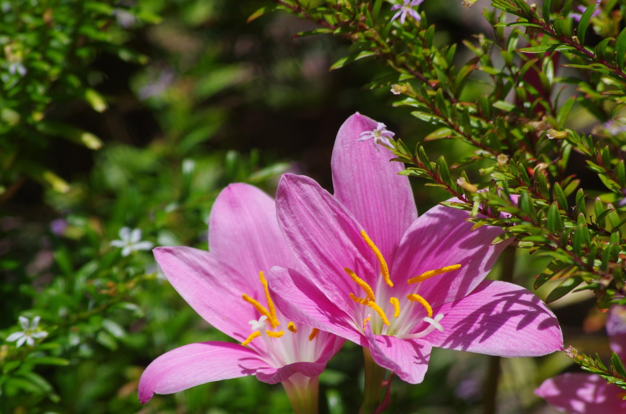pretty in pink lilly by koala55