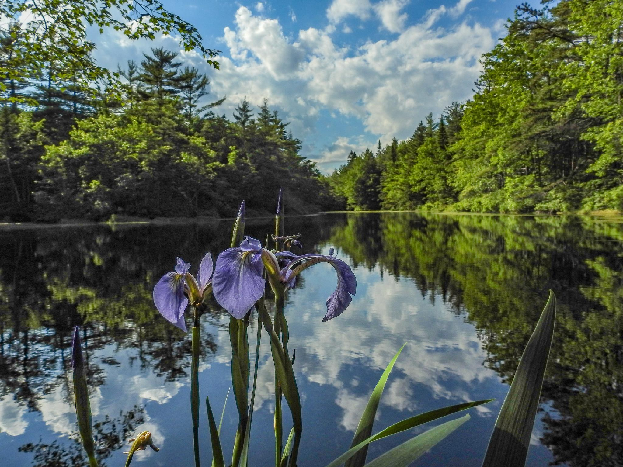 Pond with Iris by Stephen Ingraham