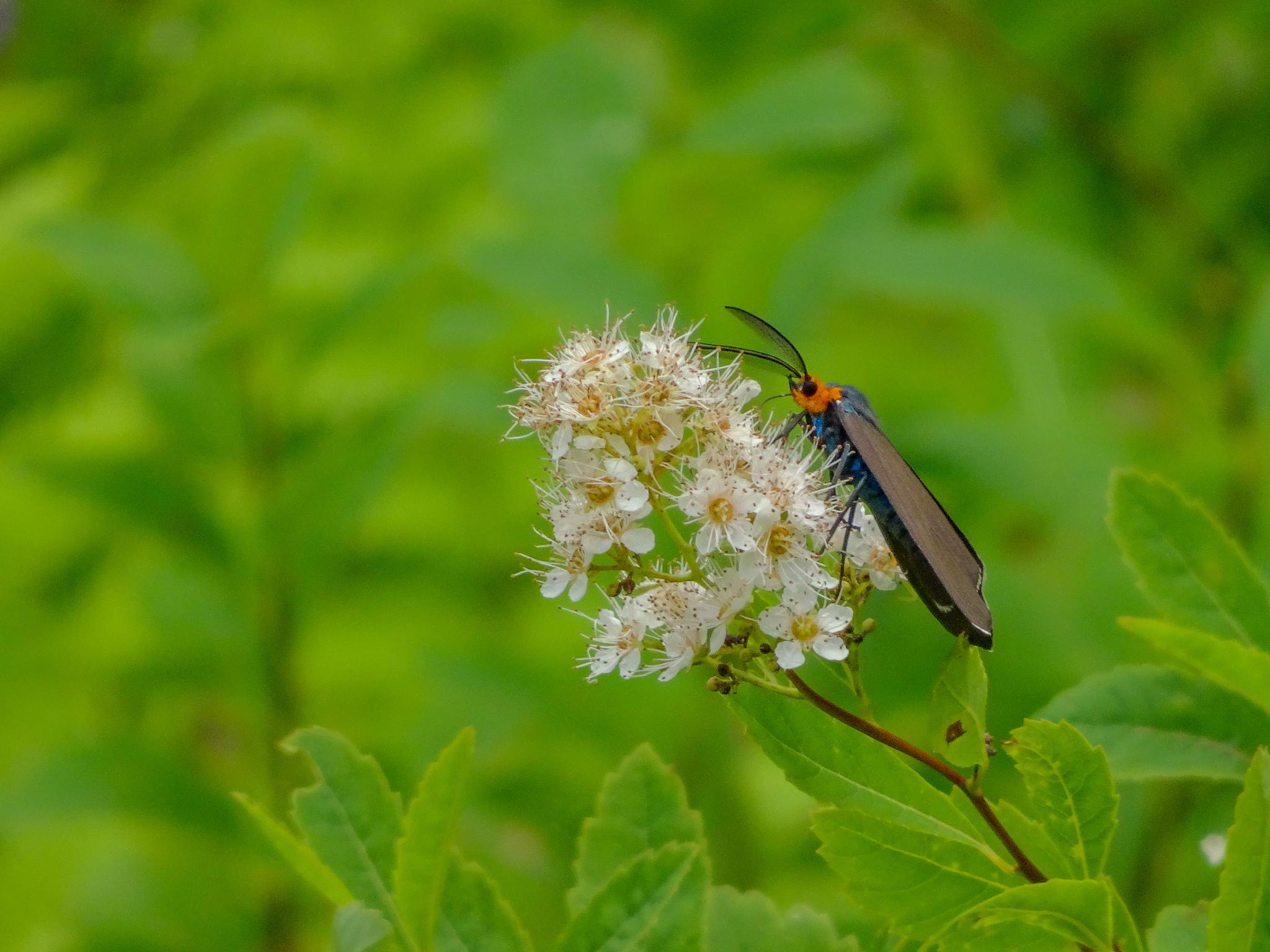 Virginia Ctenucha Moth by Stephen Ingraham