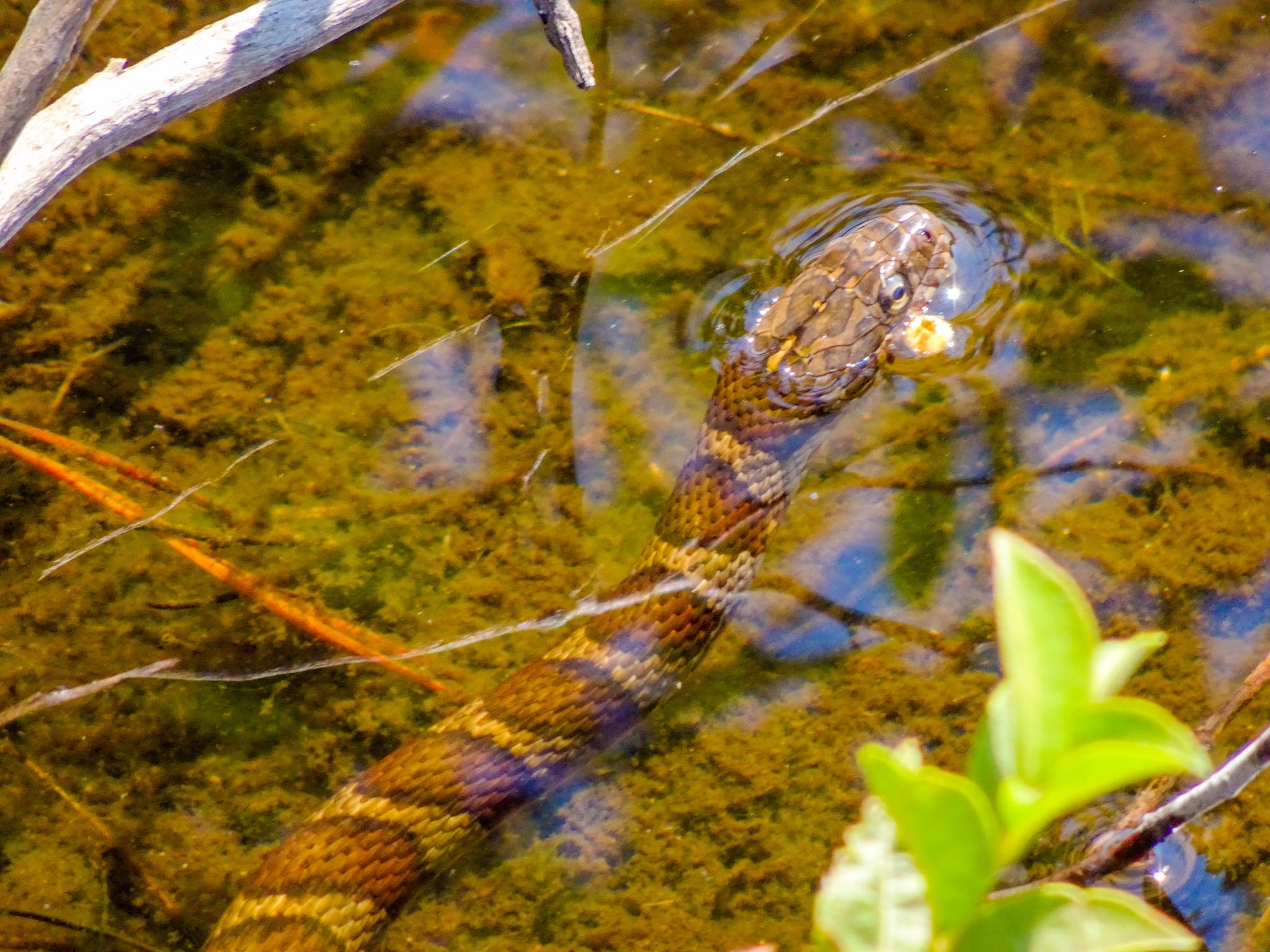 Photo in Nature #nature #maine #kennebunk plains #reptile #snake #northern watersnake