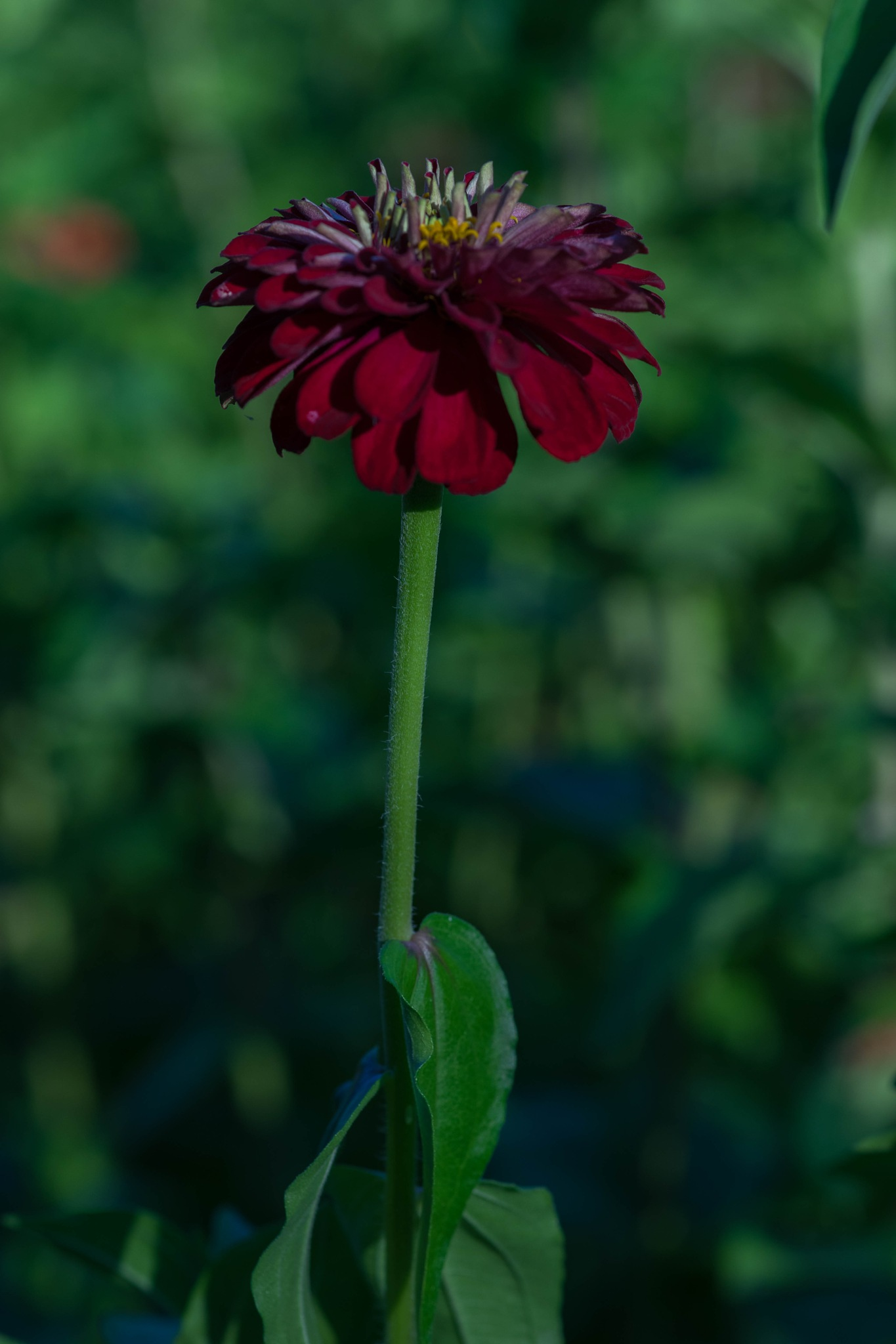 Rote Blume by Hansjuerg Buehler