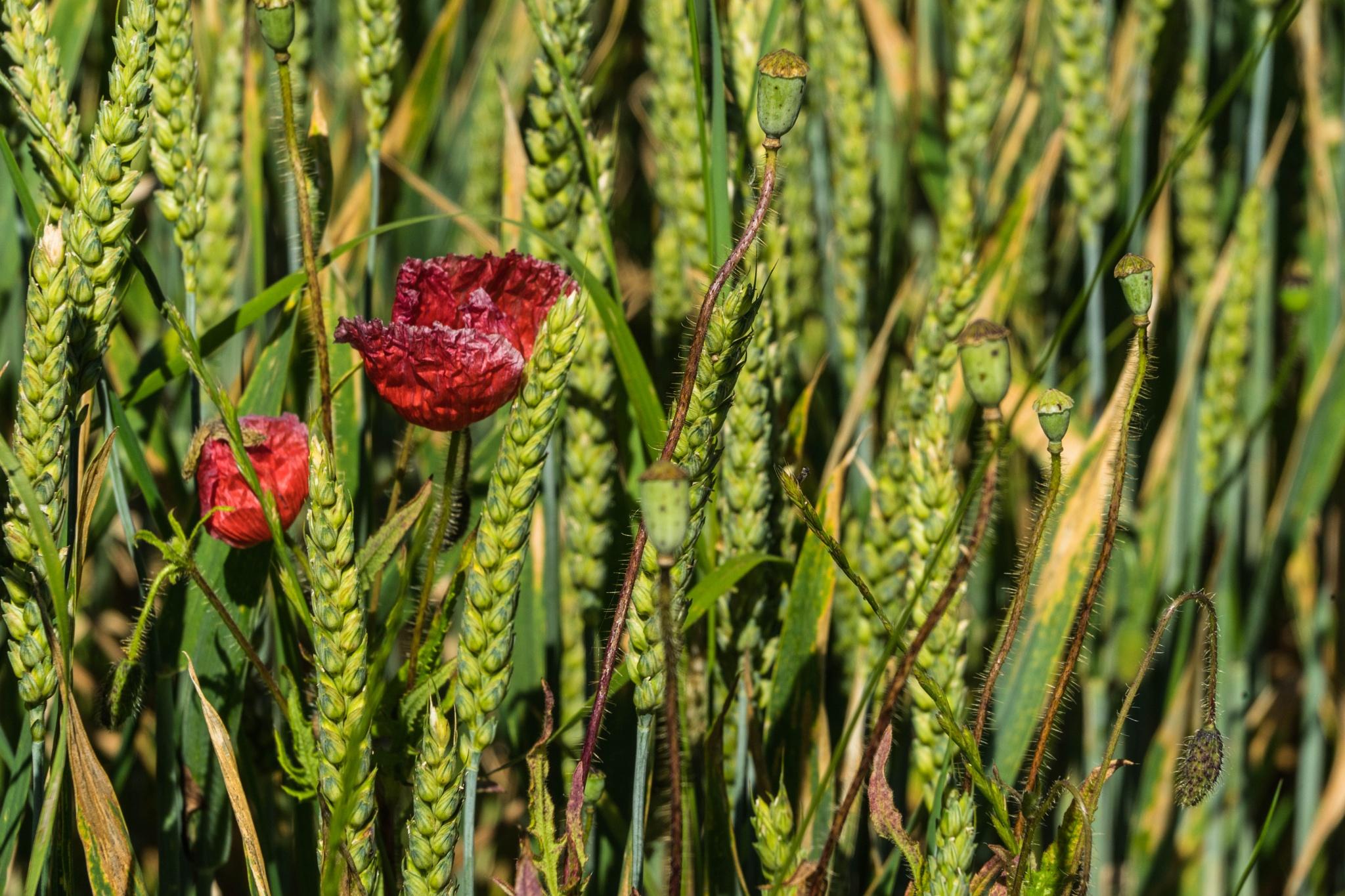 Weizen mit verdorrendem Klatschmohn by Hansjuerg Buehler