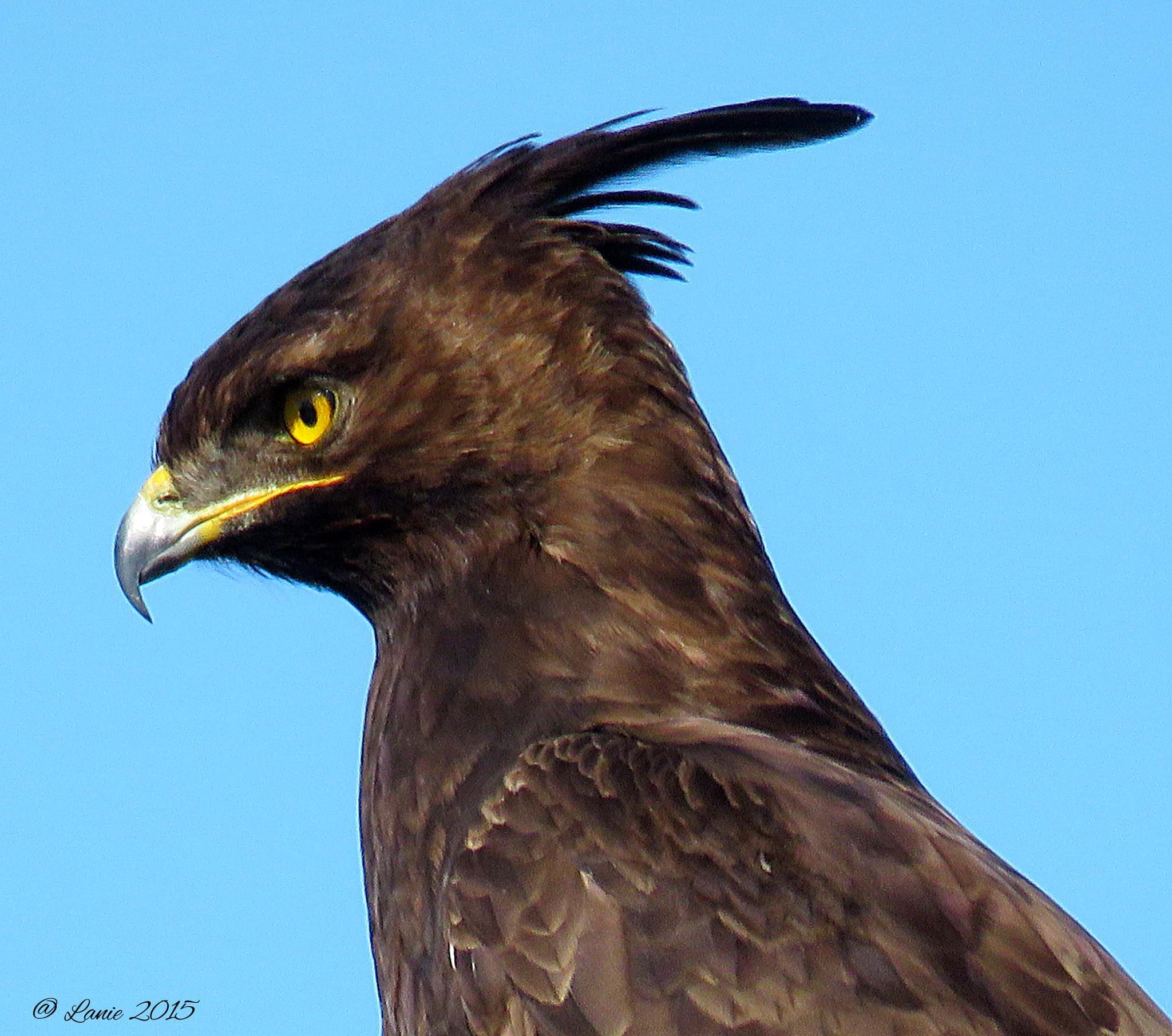 Long-crested Eagle by Lanie Badenhorst