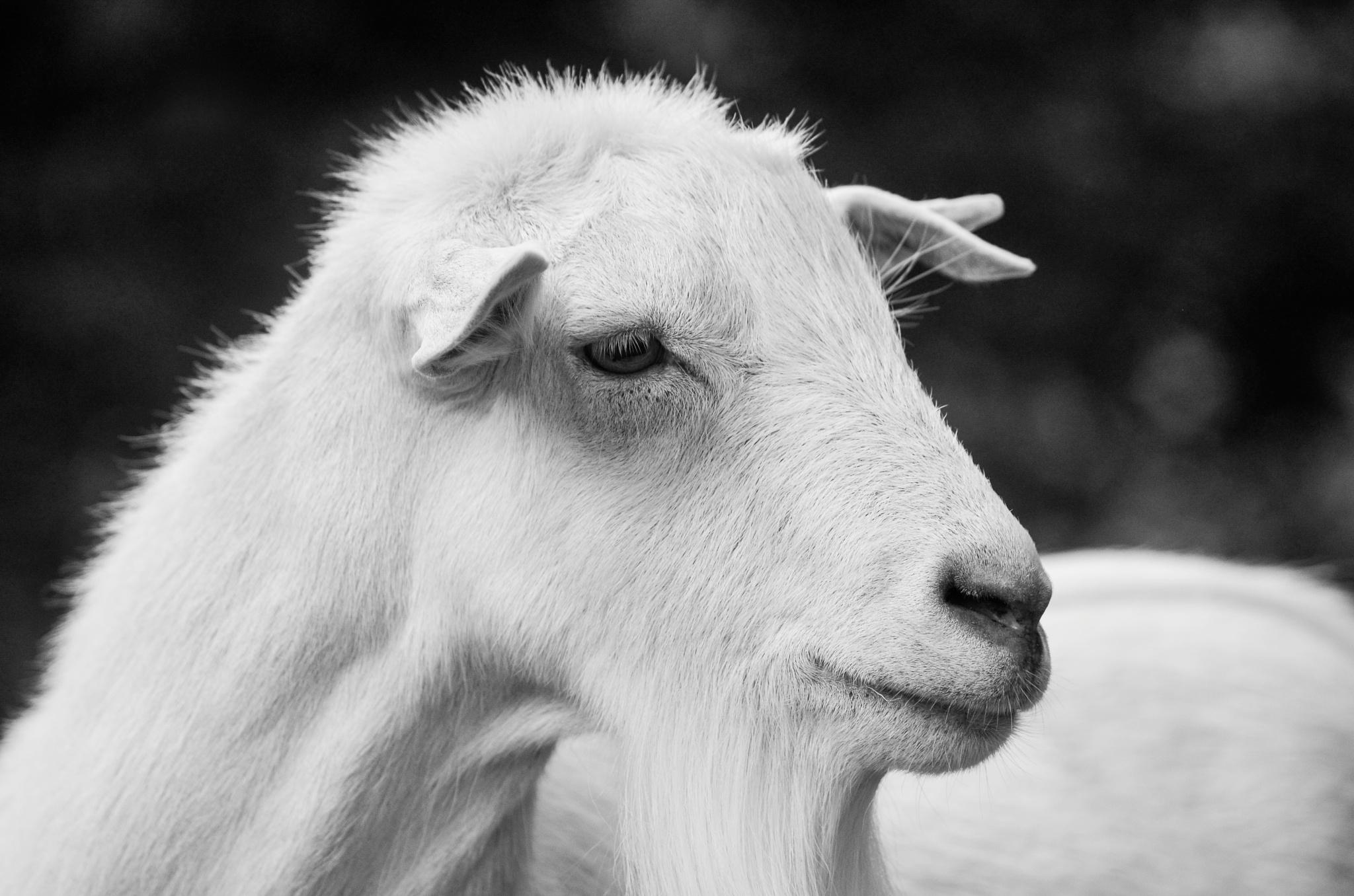 Domestic Goat by Julija M.