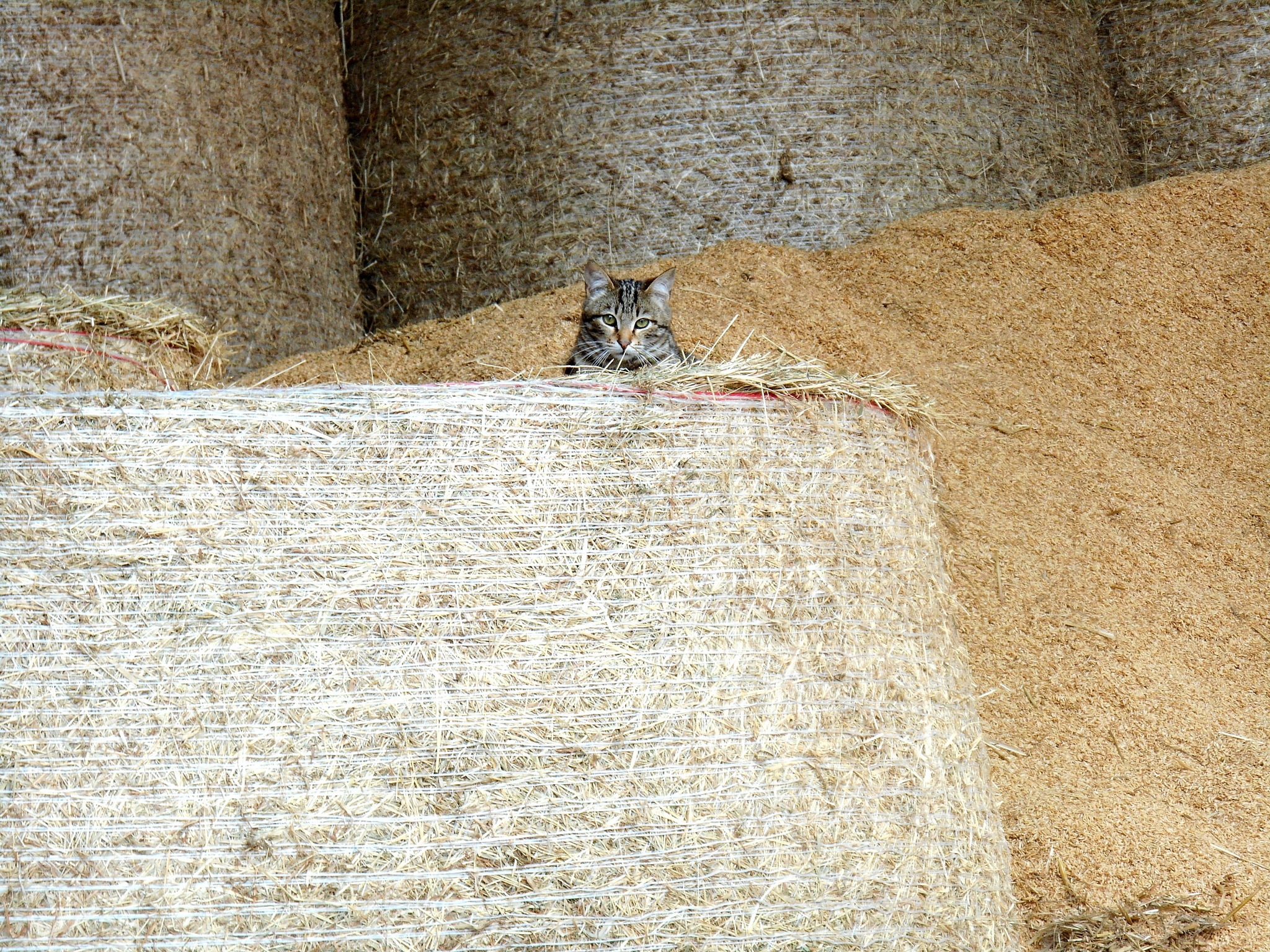 Cat in the barn by clairettegardner