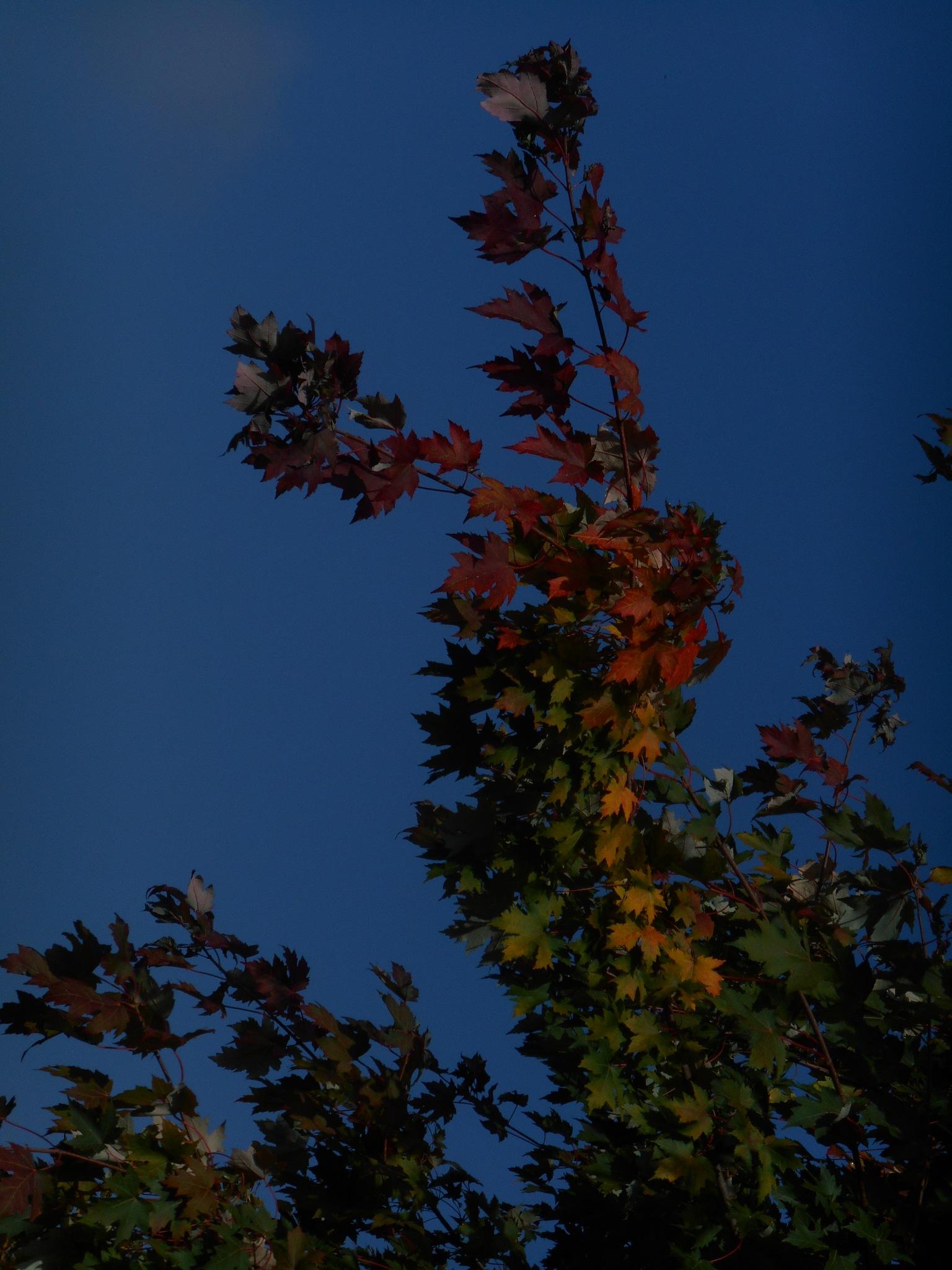 Autumn leaves against a deep blue sky by clairettegardner