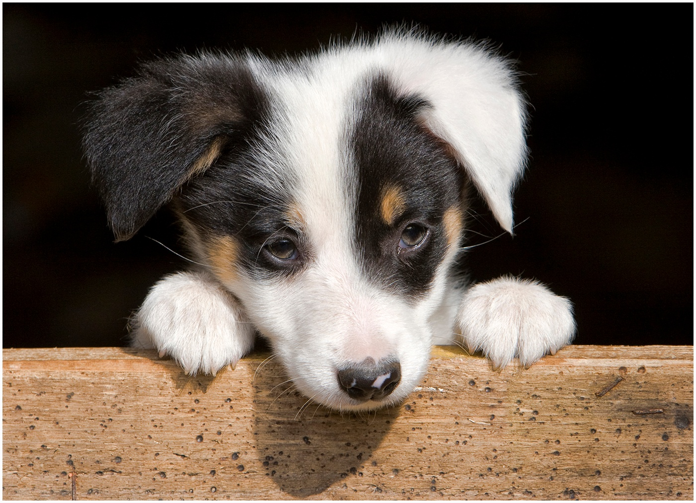 Sheepdog puppy by Rory