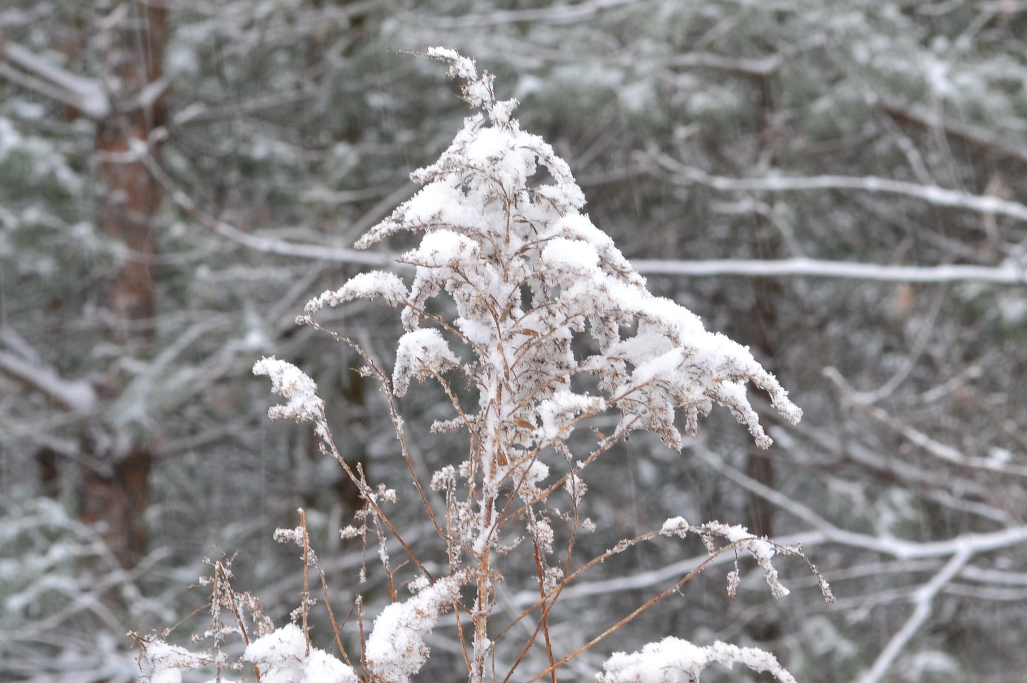 Winter weeds by Thom FitzRandolph