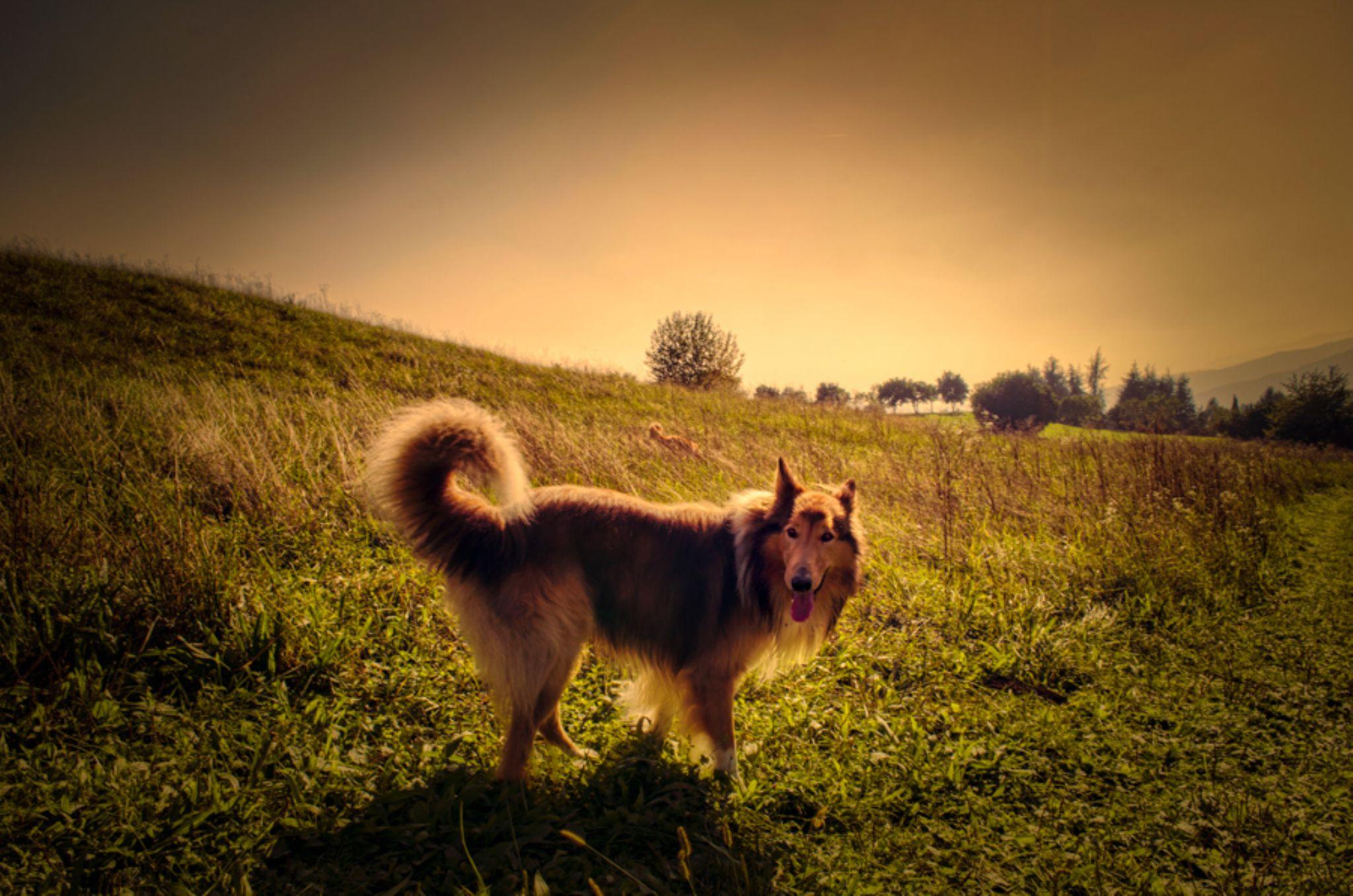 Lassie Come-Home by LuGiais