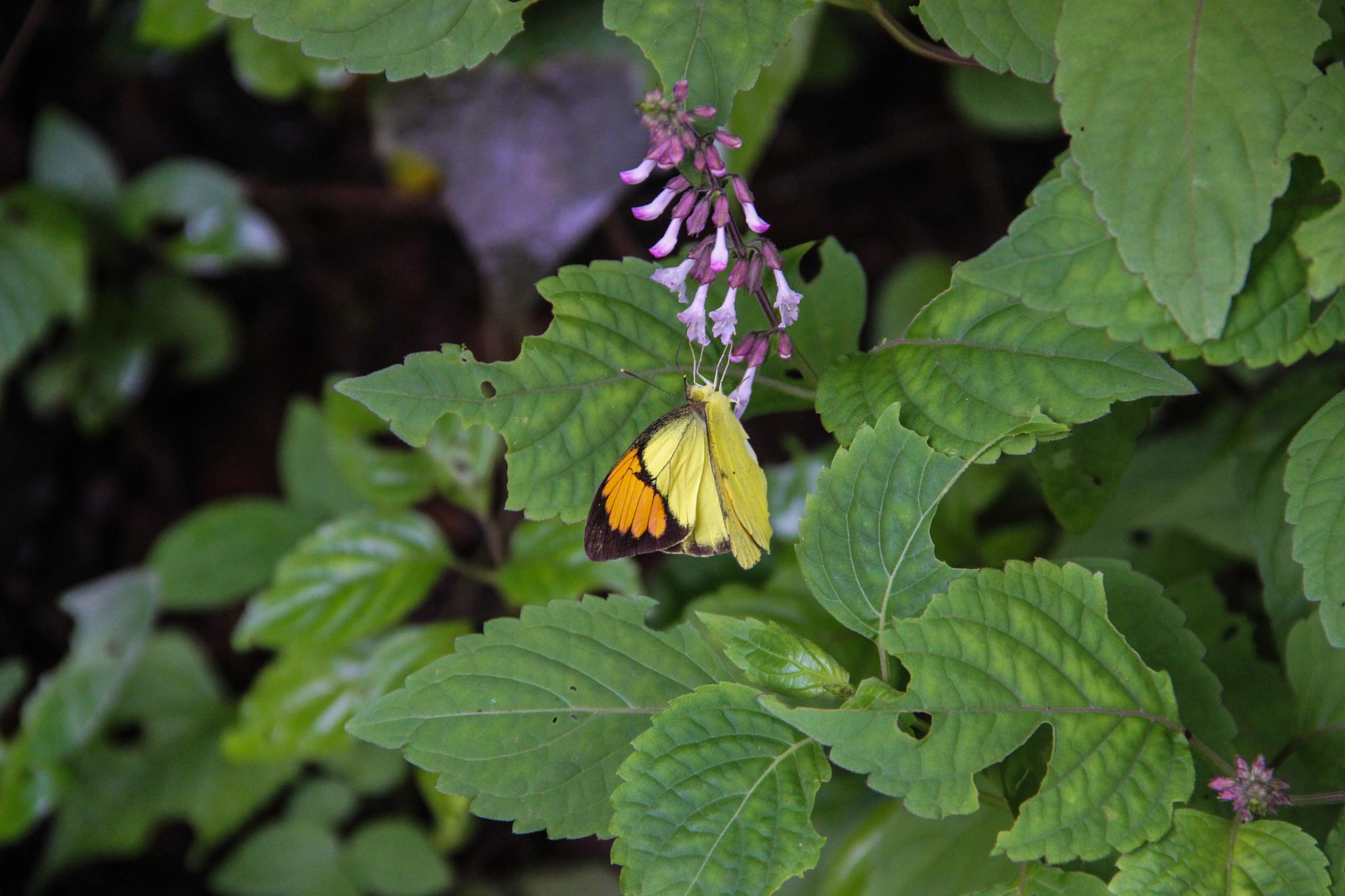 Butterfly by Sanket Joshi