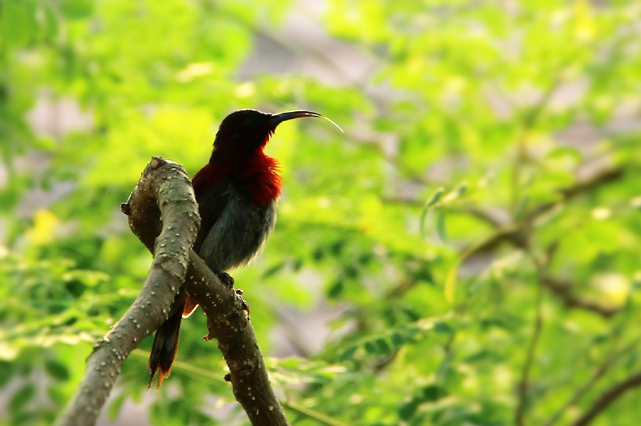 Vigors's Sunbird by Sanket Joshi
